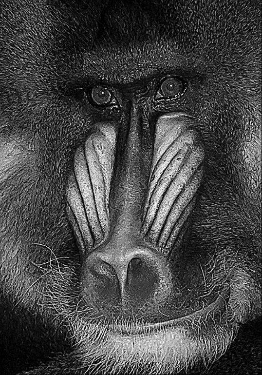 "The Print of the Month Award for December went to ""Baboon"" by Tom Mulick."