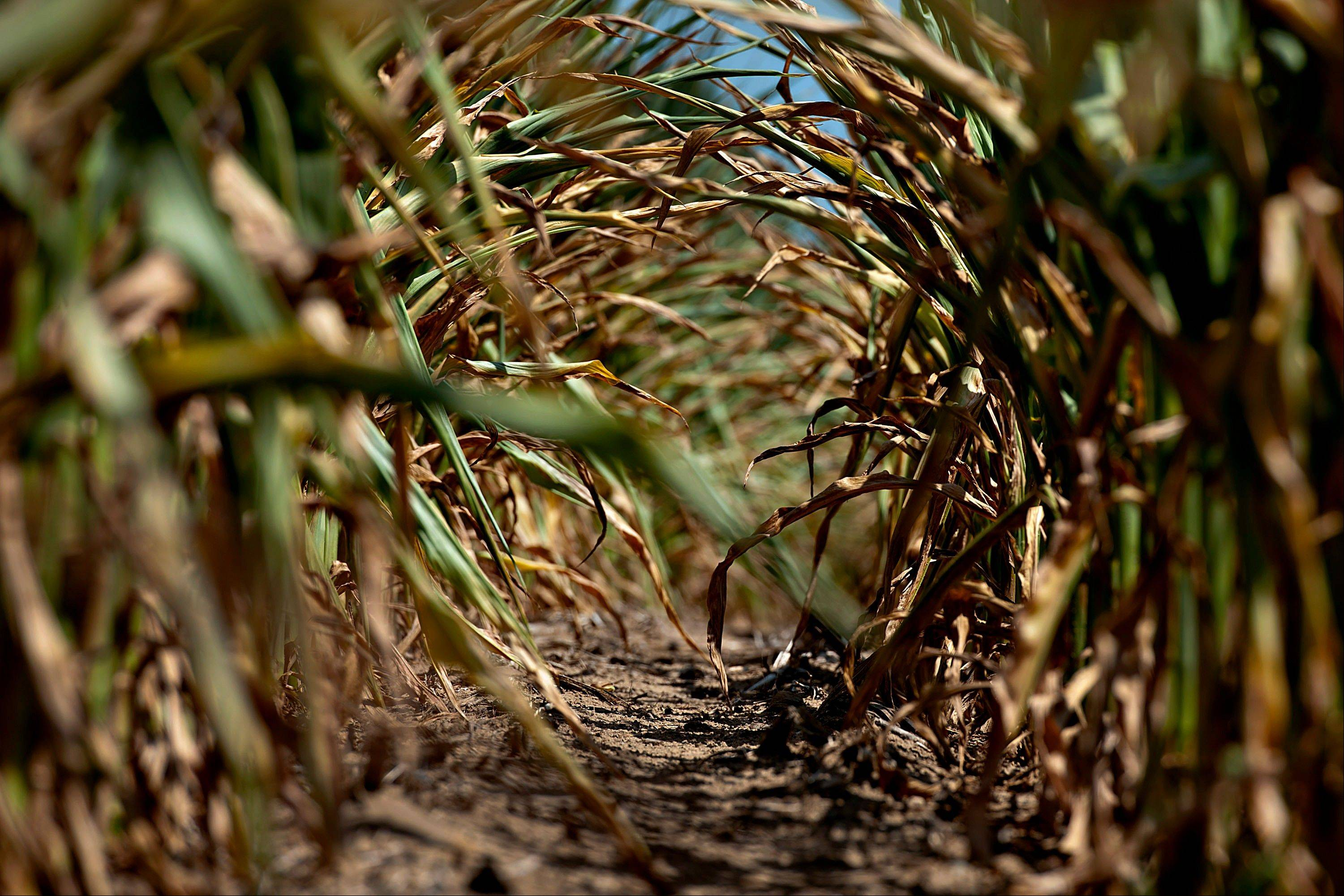 The sun shines on the dried leaves of corn plants suffering from a lack of moisture in Idaville, Indiana, U.S., on Friday, July 6, 2012. Corn and soybean inventories before the 2013 harvests also will be smaller than the U.S. Department of Agriculture estimated last month because drought is reducing this year�s harvest, according to the average of estimates in the survey.