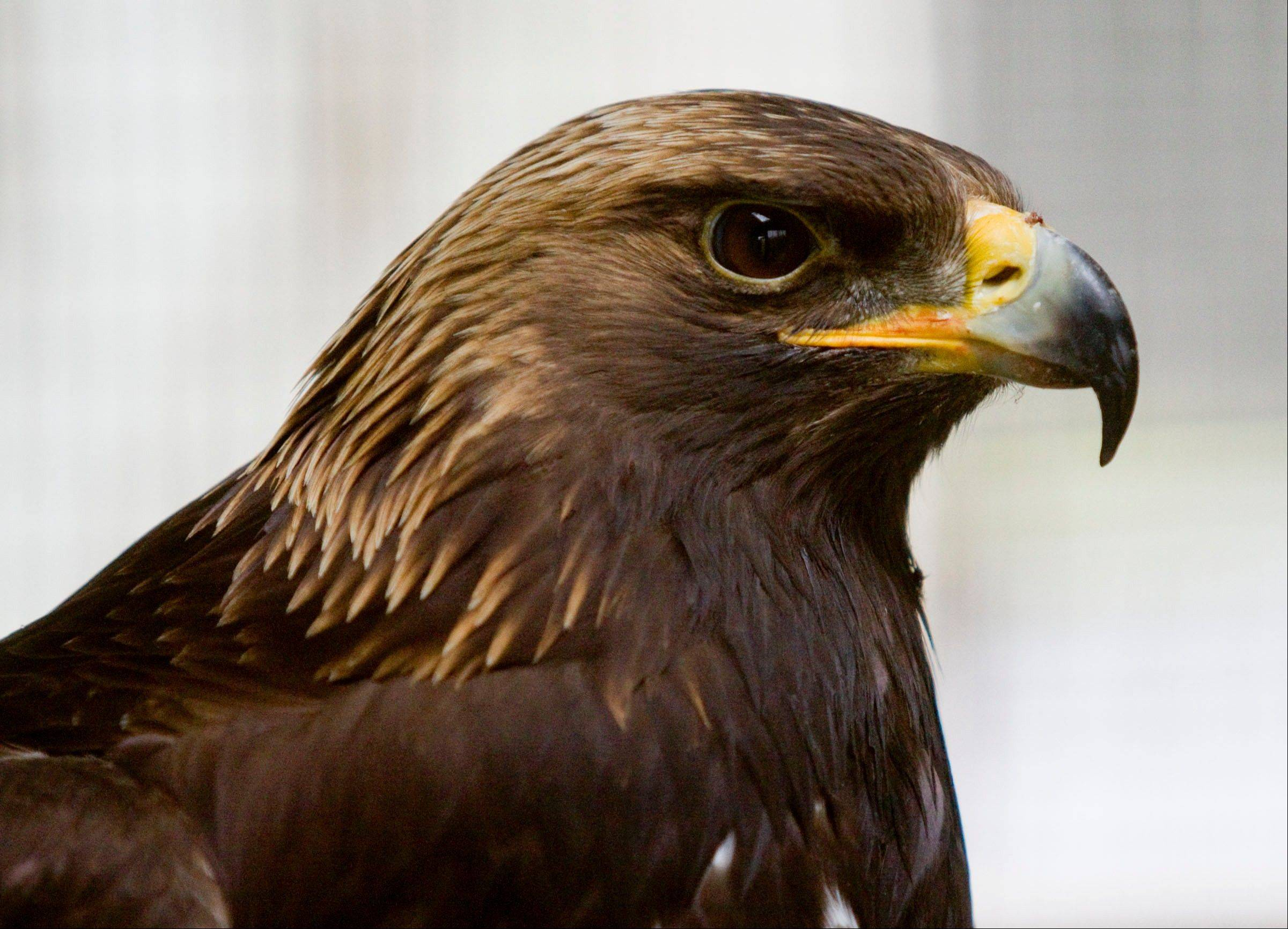 Midas, a golden eagle, was found suffering from a broken wing in a field near Sadorus, Ill.