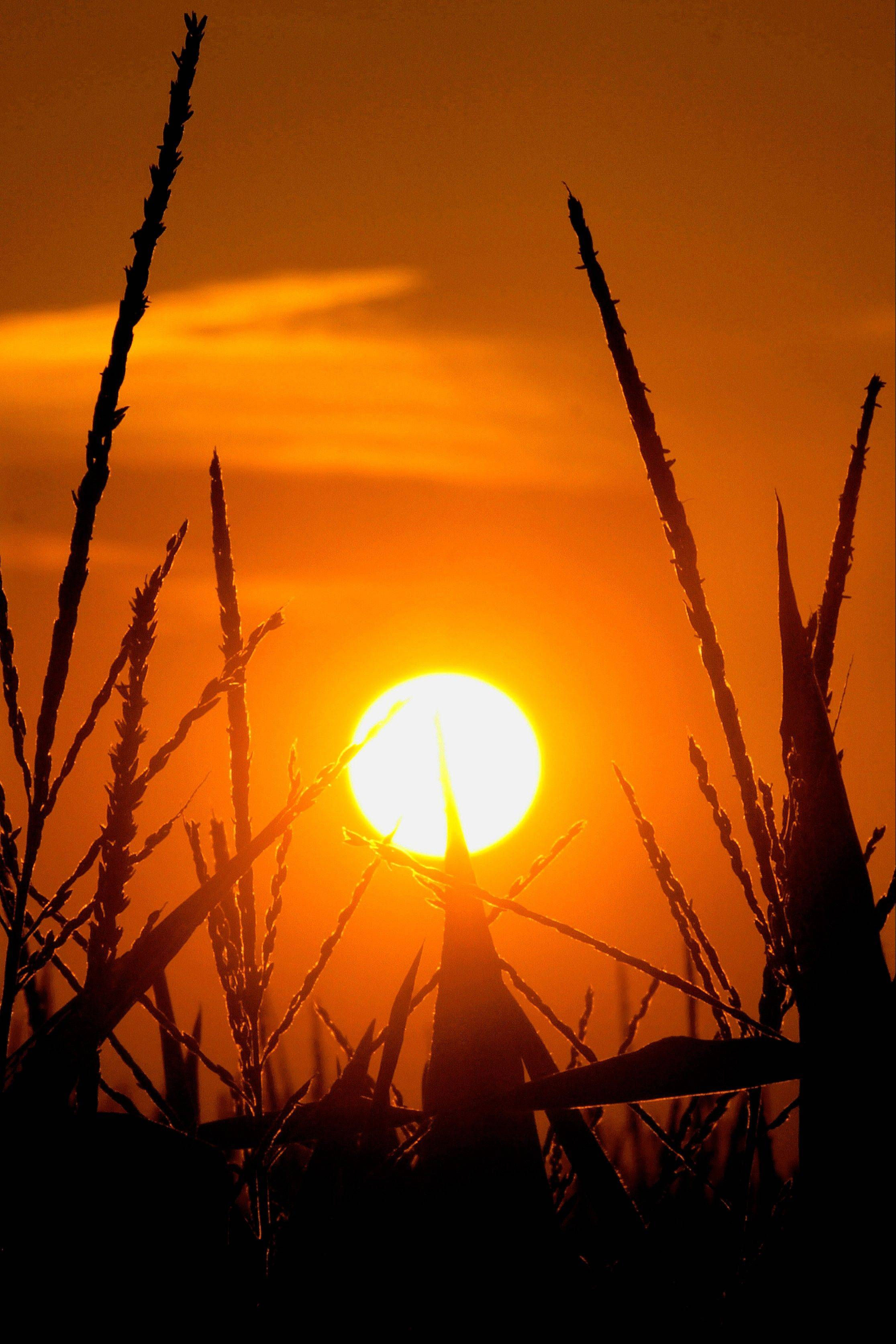 In this July 15, 2012 photo taken in Pleasant Plains, Ill., the sun rises above corn stalks struggling in the heat and continuing drought that has overcome most of the country. The drought that devastated Illinois agriculture industry, was voted the second most important news story in the AP's annual survey of its Illinois member editors and staff.