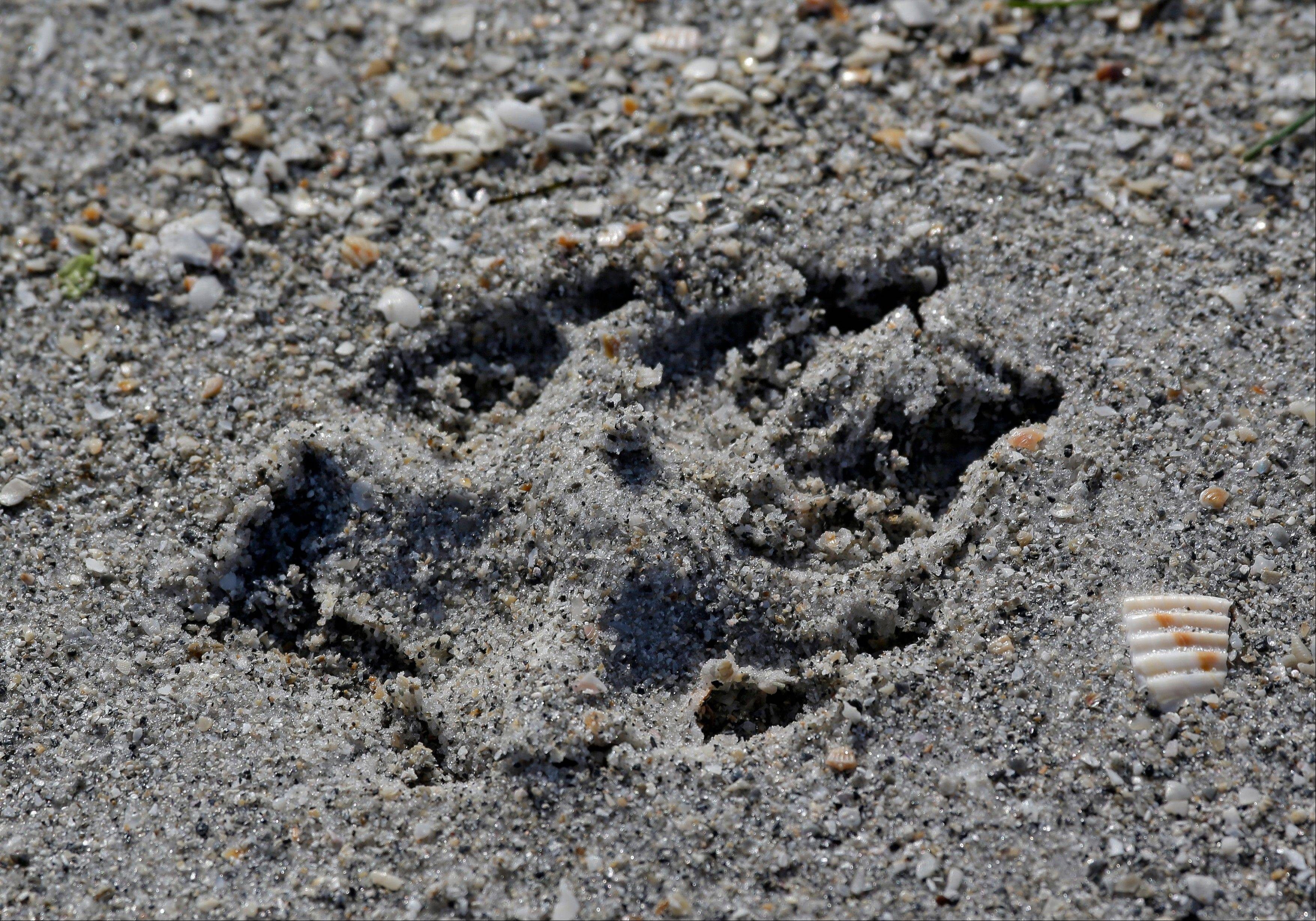 A dog print is shown in the sand on a dog-friendly beach at Fort DeSoto Park.
