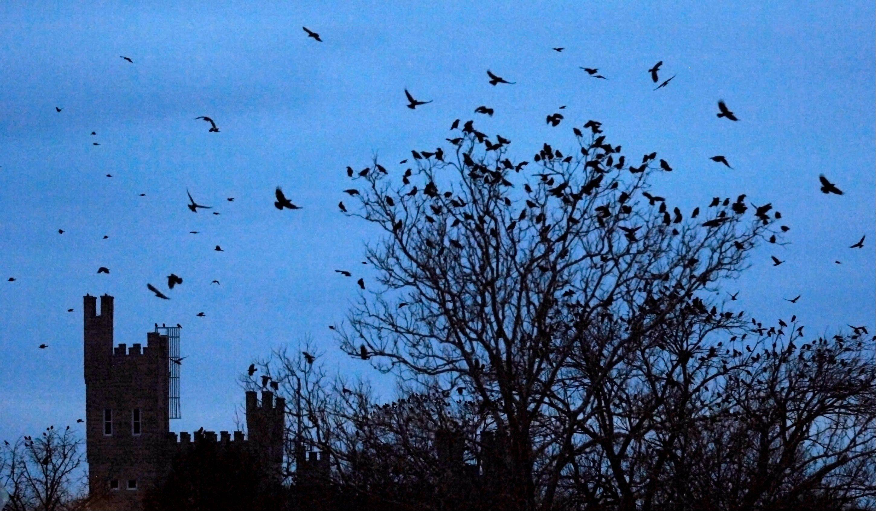 Crows fly on the Illinois State University Quad at dusk Thursday, in Normal, Ill. Thousands of crows have been roosting on the quad.