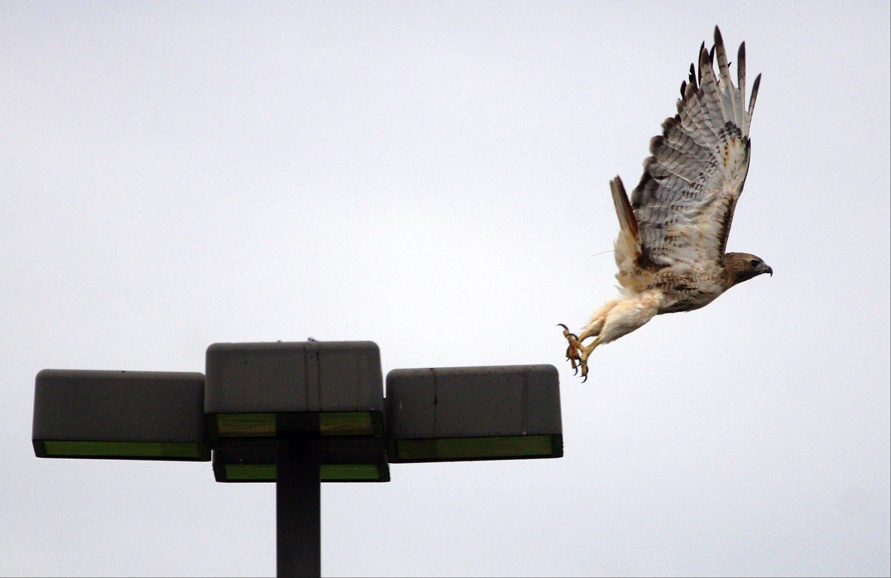 A red-tailed hawk leaves its perch after having a bite to eat on top of a Libertyville lamp post.