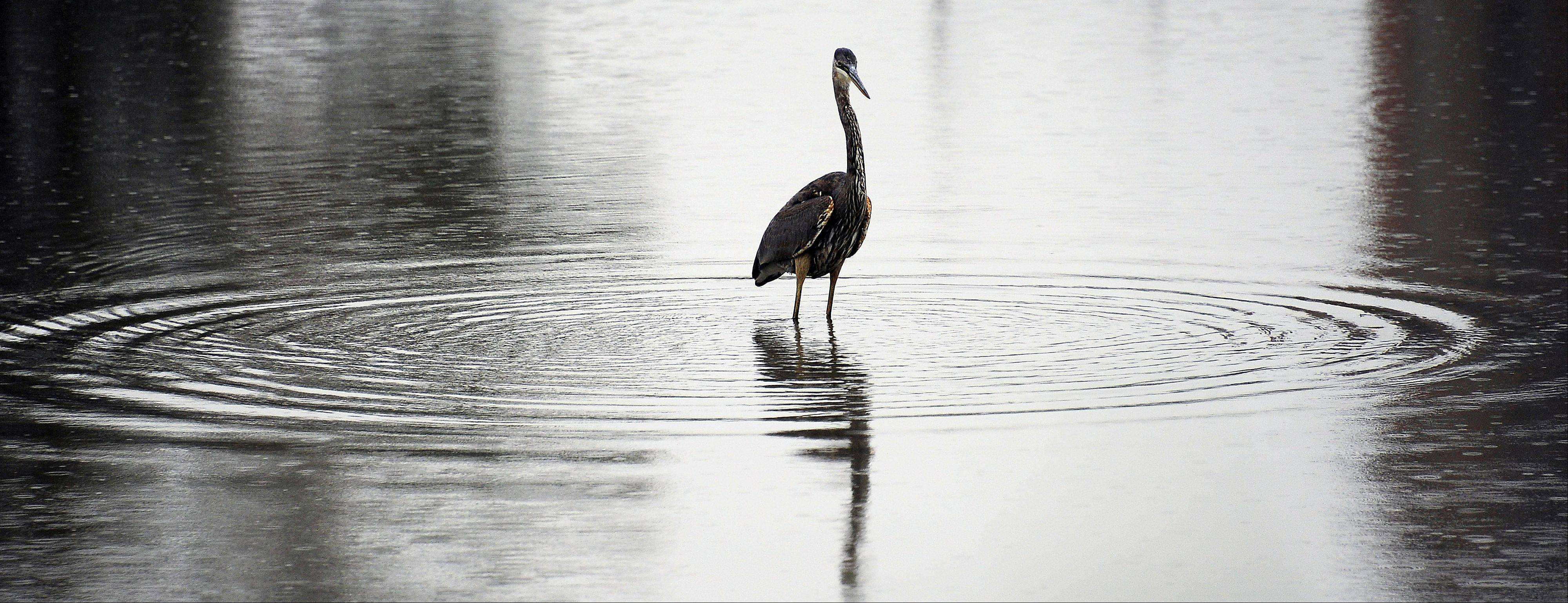 A Blue Heron braved the raindrops searching for a meal and snagged a fish at a Wheeling golf course in early fall.