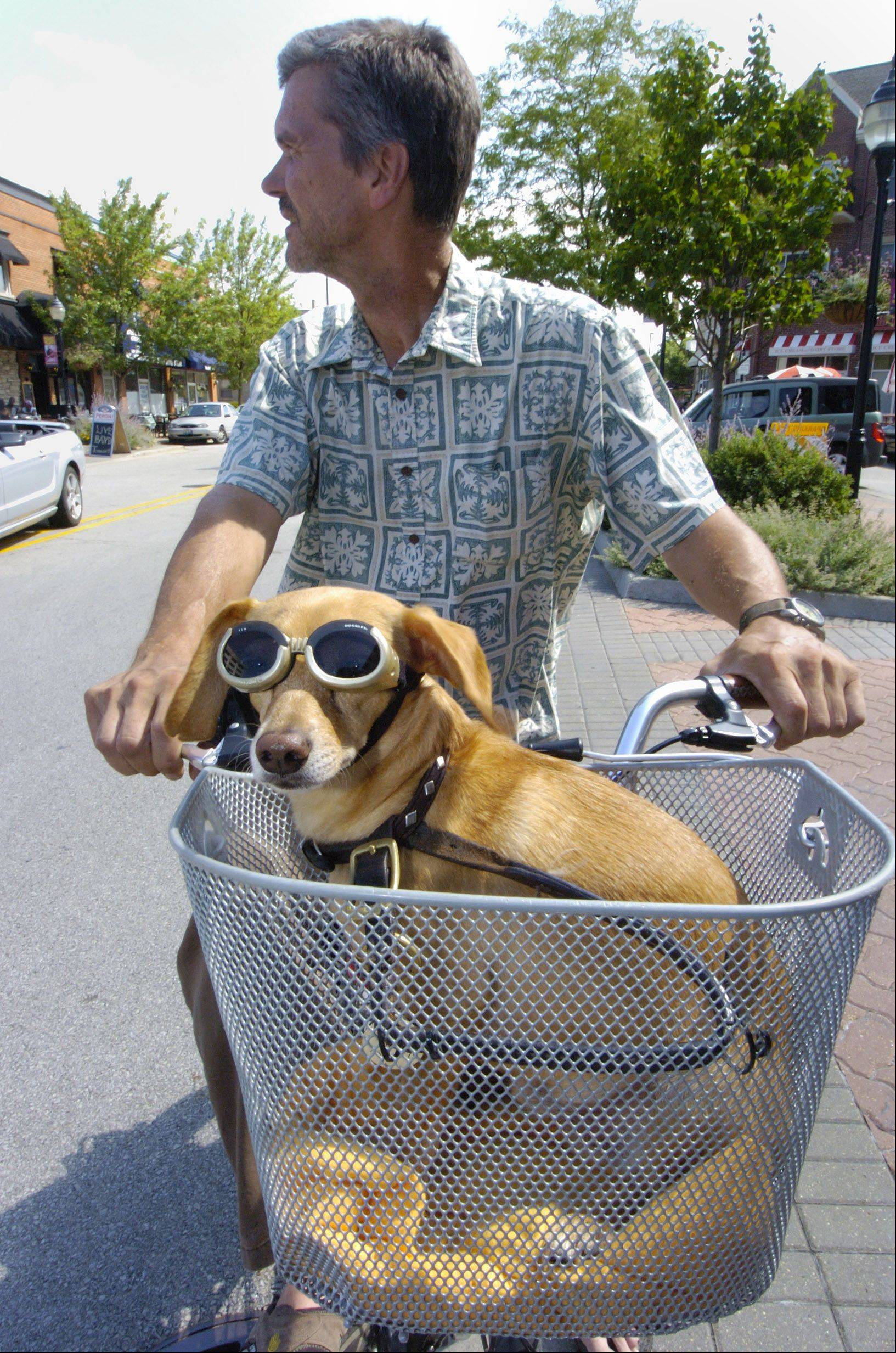 """Jack Lemmon"" sports a set of goggles as he rides securely in the front basket of Peter Brusen's bicycle in downtown Mount Prospect. Brusen, who resides in the village, says that Jack is a former shelter dog who is most likely a chihuahua-dachshund mix."