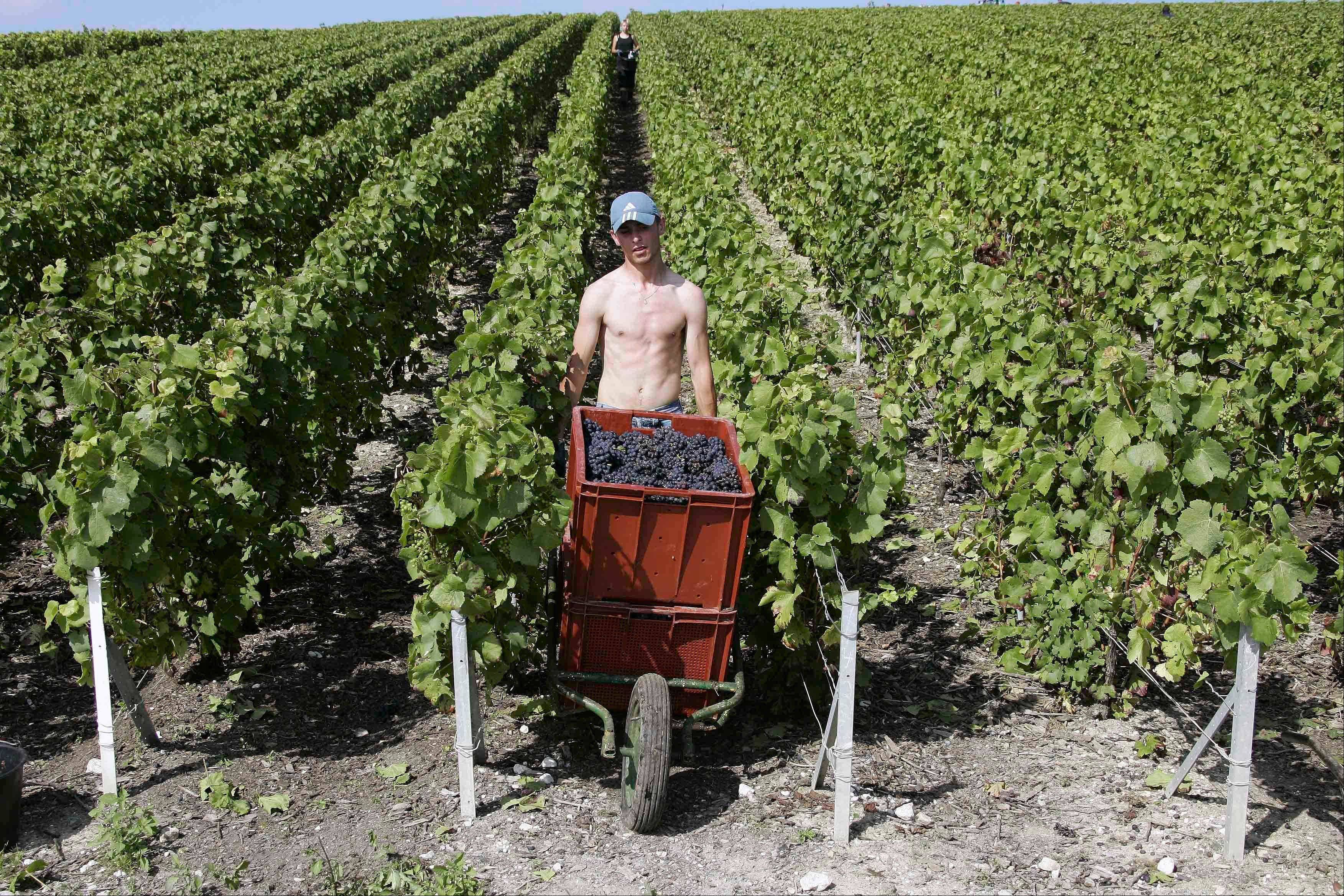 A worker uses a wheelbarrow to carry boxes of Pinot Noir grapes during the grape harvest of Roederer Champagne in Ay, in the Champagne production area of Epernay, near Reims, eastern France. Europeans are finding fewer reasons to pop open a bottle of Champagne as another year of economic troubles and high unemployment saps the region's joie de vivre, latest industry figures show.