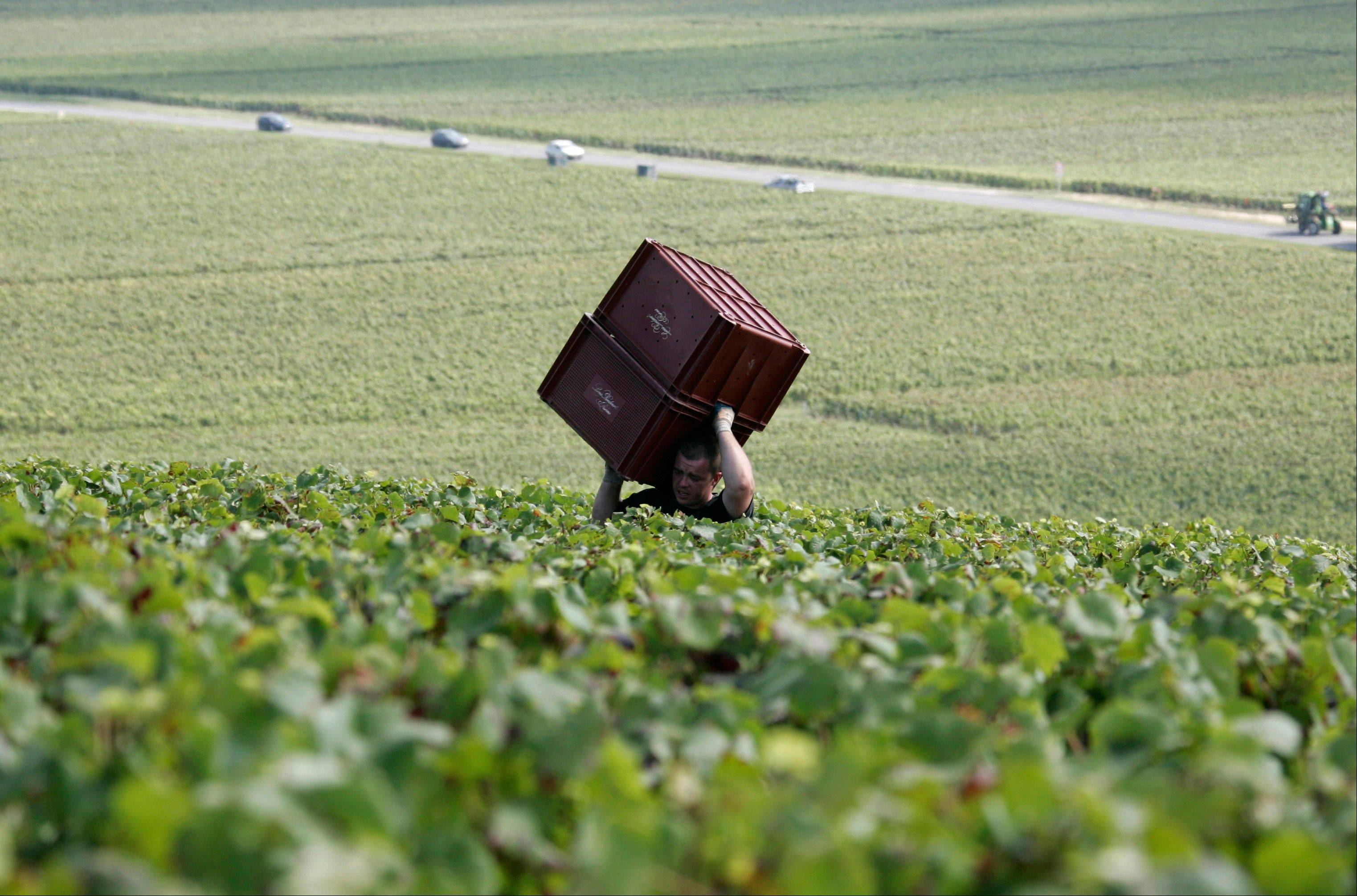 A worker carries boxes during grape harvest near Epernay, Champagne region. While a taste for a glass of bubbly might be on the wane in Europe, other markets, particularly Japan and the United States, are developing a growing taste for sparkling luxury with a brand name.