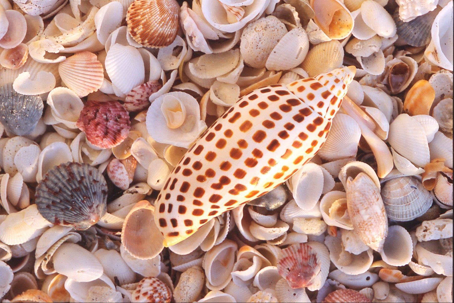 A junonia shell amid an array of seashells found on the beaches of Sanibel Island. The Gulf Coast barrier island is known for quiet beaches, wildlife and good opportunities for finding seashells, especially for visitors who are motivated to check tide tables and comb the beaches at dawn and after dark.