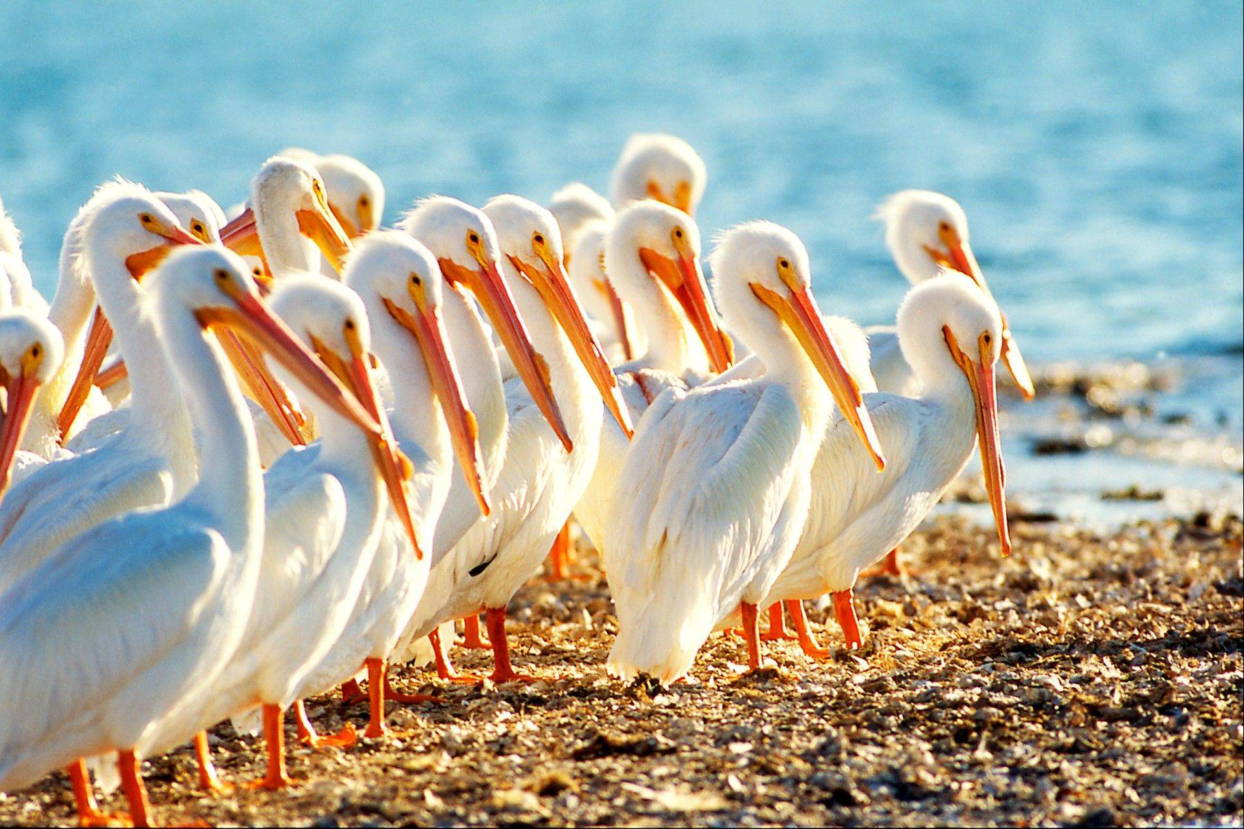 All kinds of birds, including these white pelicans, can be found on Sanibel Island in Florida.