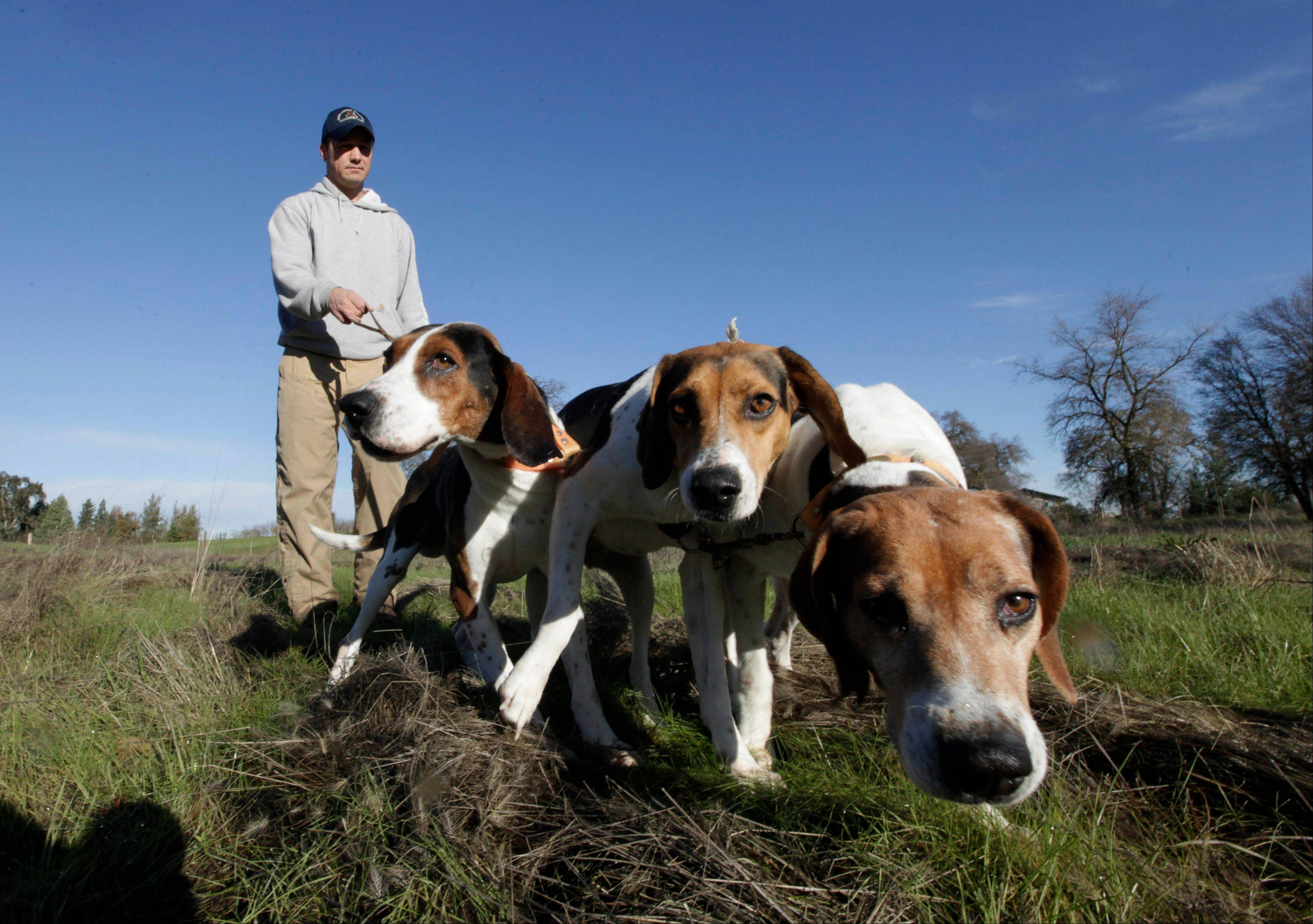 Josh Brones, president of the California Houndsmen for Conservation, walks his hunting dogs, Dollar, left, Sequoia, center and Tanner right, near his home in Wilton, Calif. After Jan. 1, California hunters will no longer be able to use dogs to hunt bobcats and bears, under a law authored by Sen. Ted Lieu, D- Torrence.