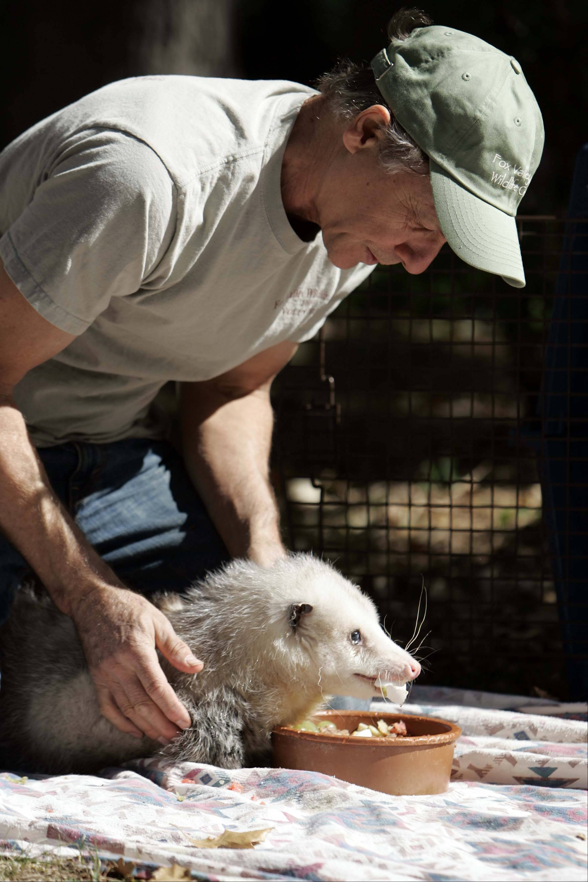 The Fox Valley Wildlife Center is taking entries for its annual photo contest. The contest and the annual winter dinner are fundraisers to support the center, which relies on donations and volunteers, such as Steve Wallace of South Elgin helping out this opposum, to care for injured mammals, birds, reptiles and amphibians.