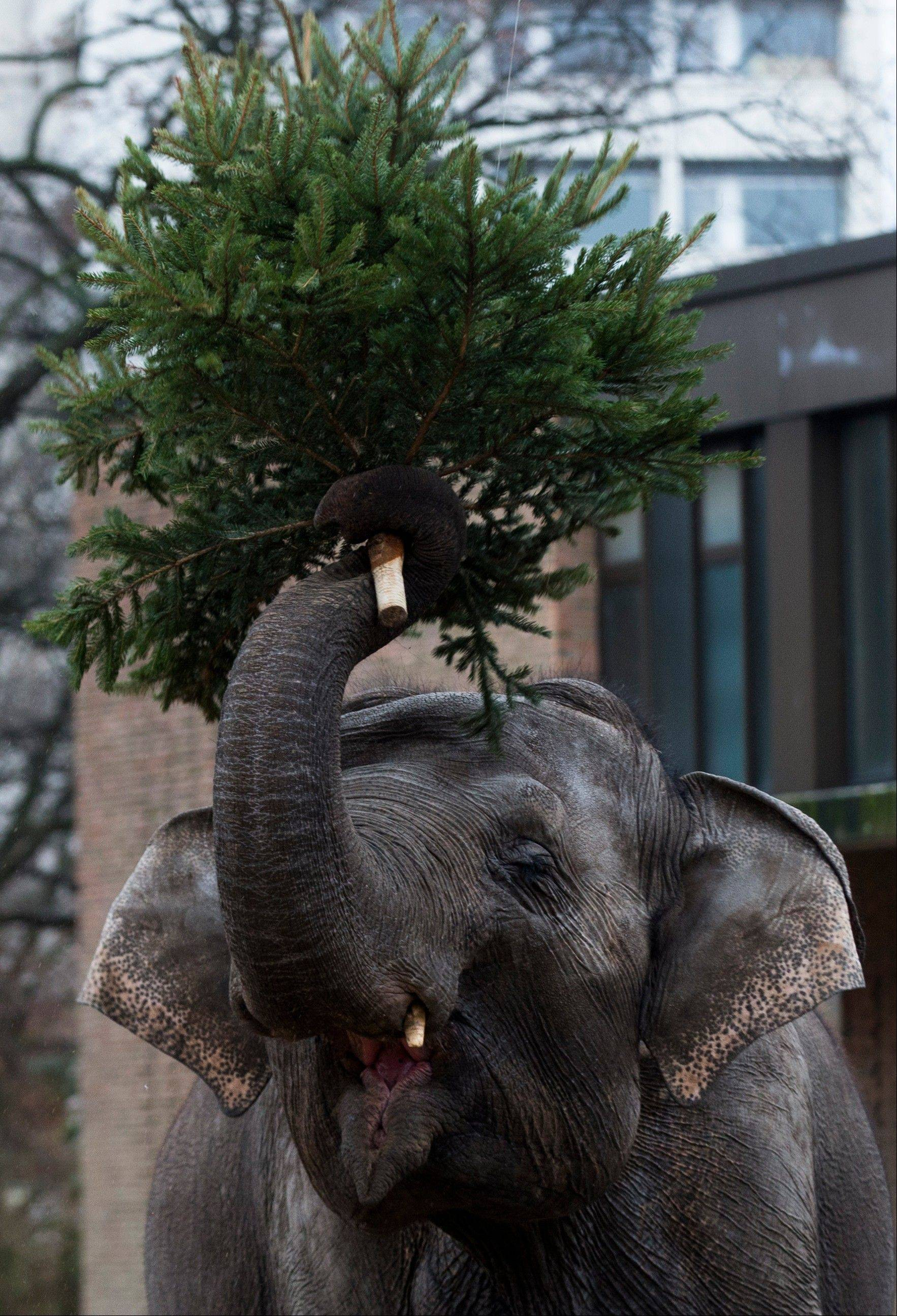 An elephant plays around with a Christmas tree Friday at the Berlin Zoo before eating it.