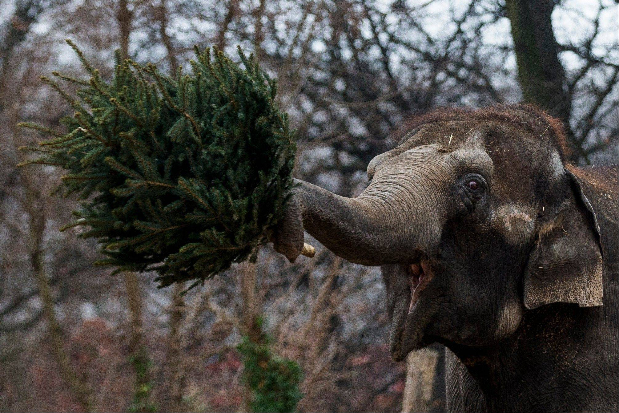 An elephant holds a christmas tree at the Berlin Zoo at the launch of the annual feeding of christmas trees in Berlin, Friday.