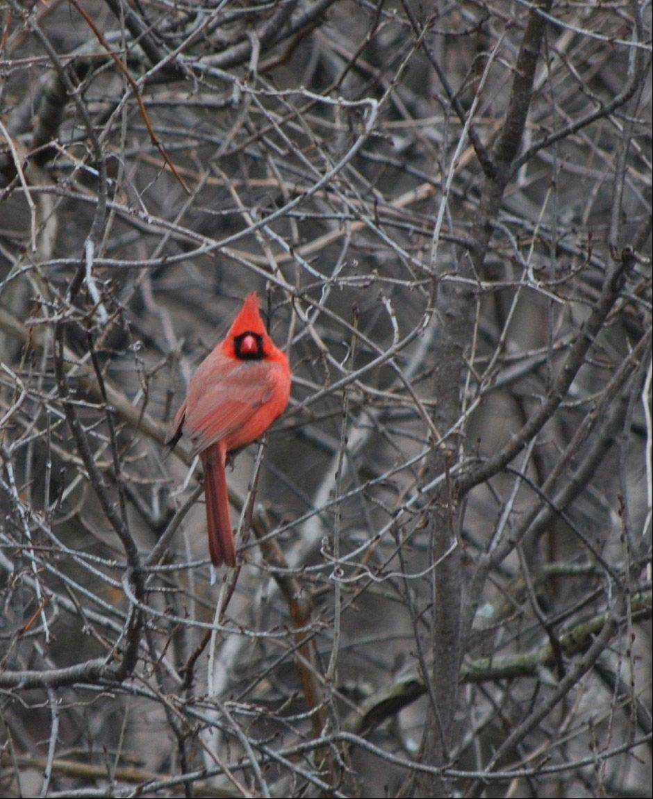 Early Christmas morning, a bright red cardinal seemed to be looking into our family room.