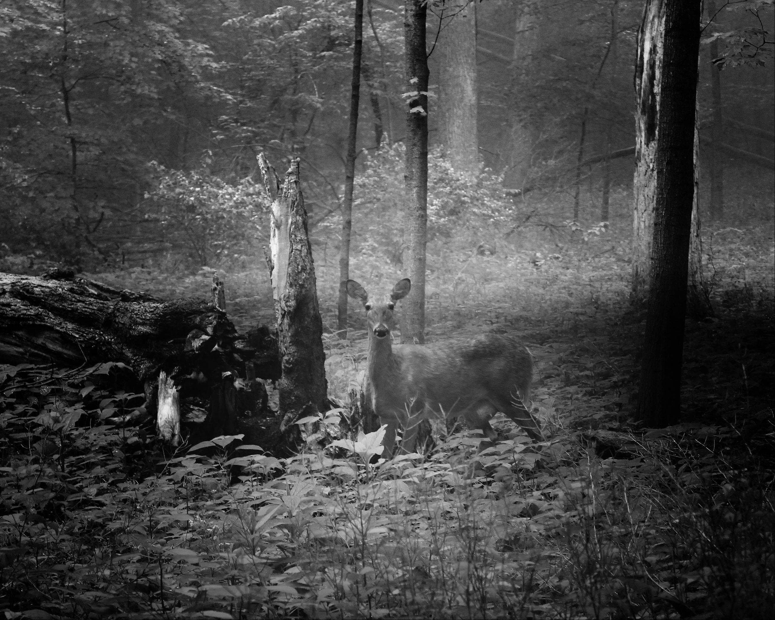 "Taken on a slightly foggy morning in early summer in Silver Spring State Park just south of Plano. Came across this doe with child, and she didn't spook. I processed it in black and white, I thought it gave it a more ""mystical"" look about it."