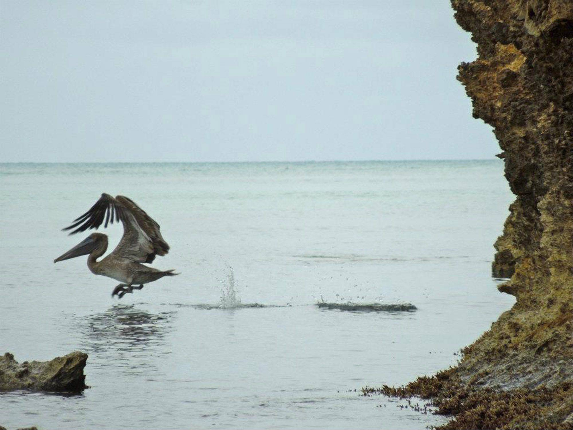 A pelican swoops down to feed on the fish off the beach in the country of Antigua last summer.