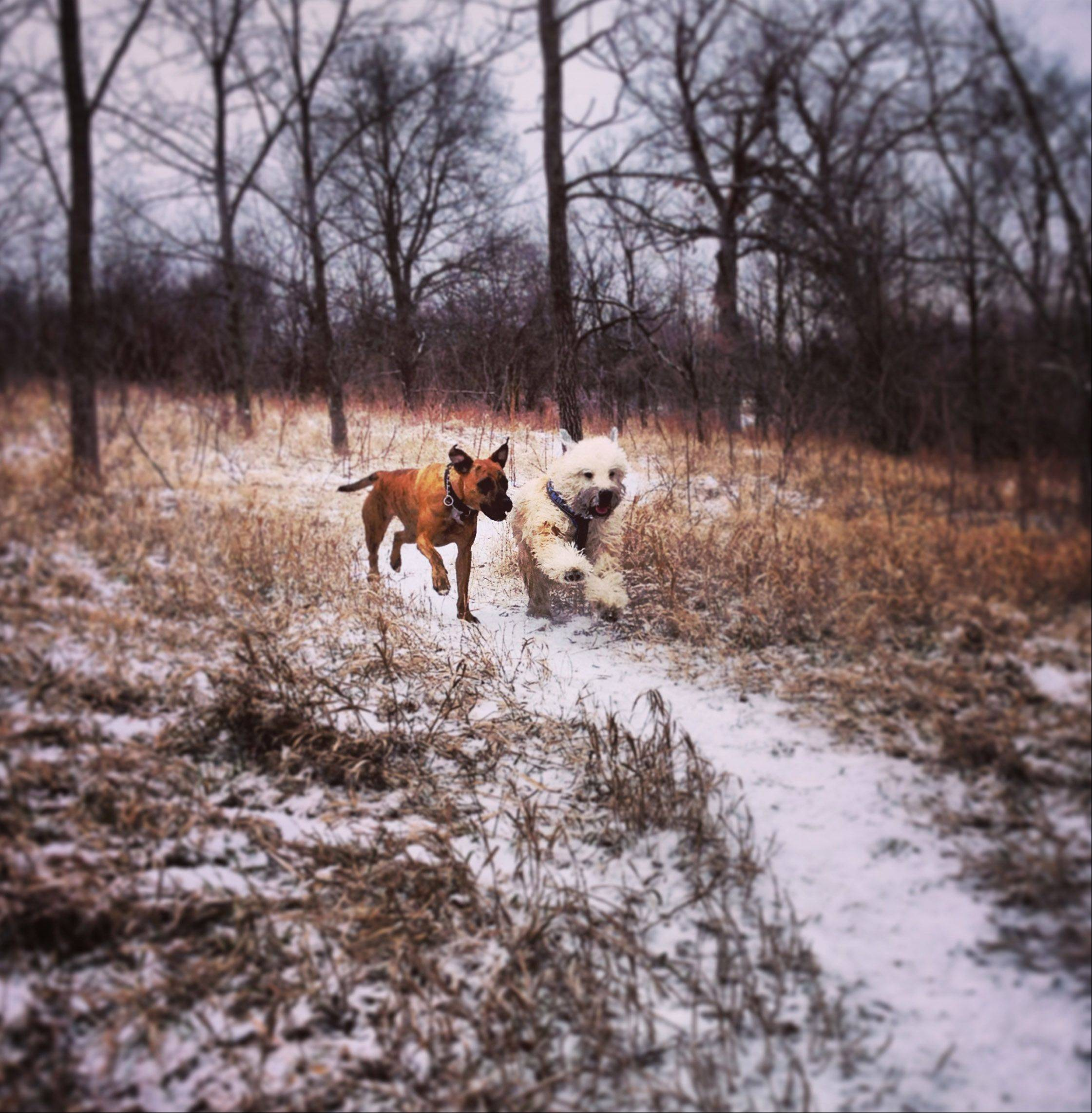 Eddie, right, and Chula run together at Fox River Bluff Dog Park in St. Charles after a light snow shower in December.