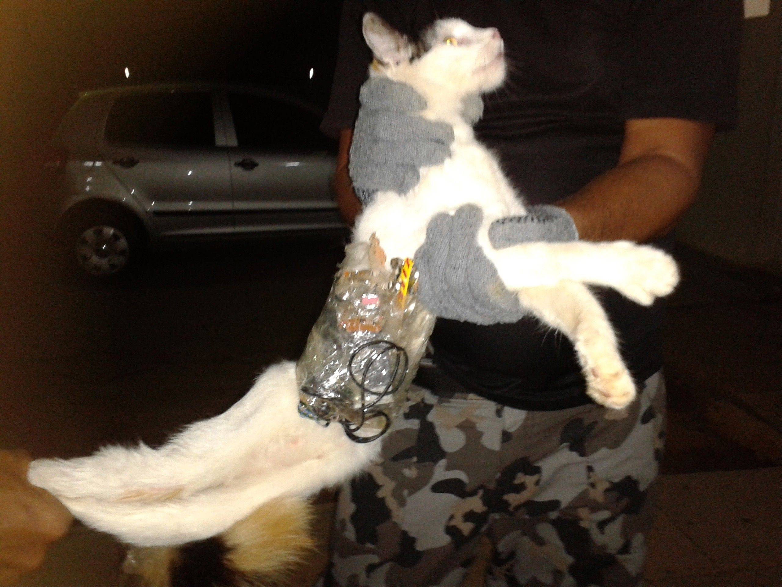 Guards hold a cat that has items taped to its body at a medium-security prison in Arapiraca, in Alagoas state, Brazil. A prison official says they caught the cat slipping through a prison gate with a cell phone, drills, small saws and other contraband taped to its body.