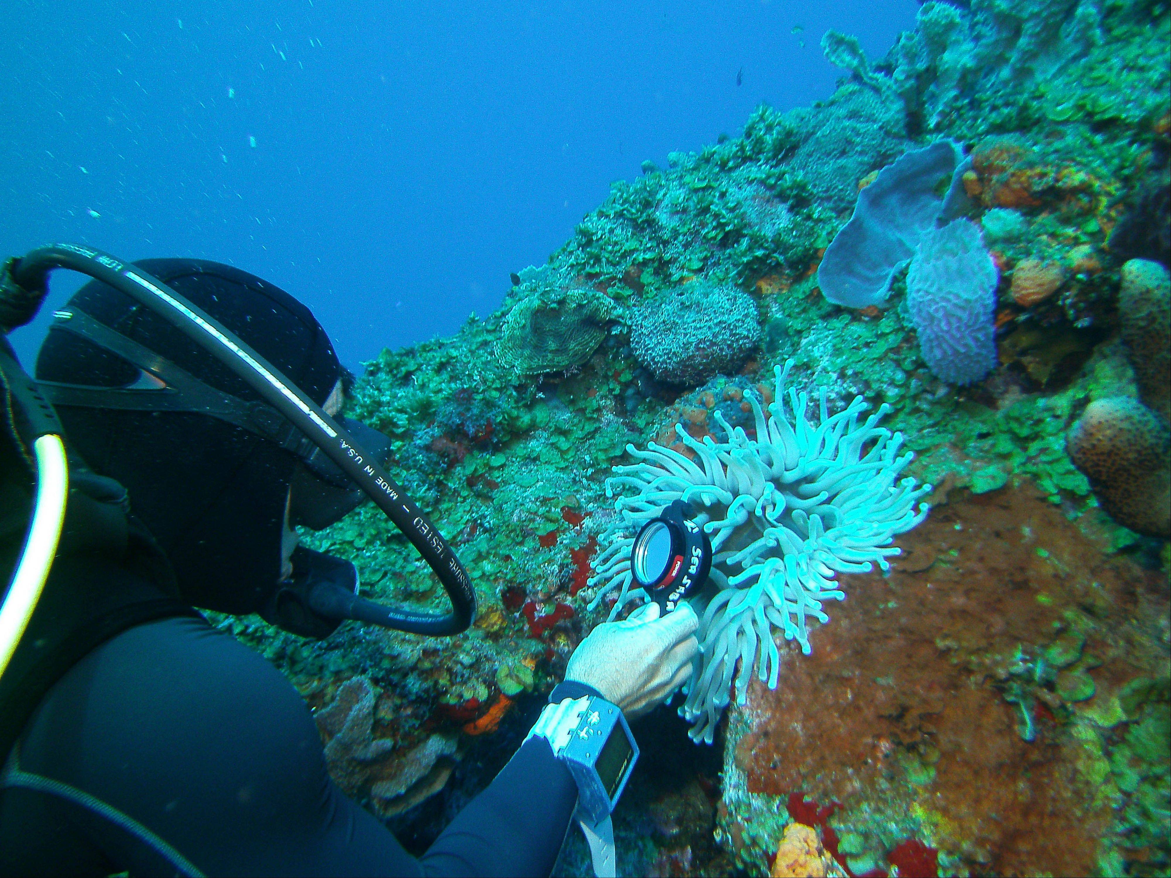 A diver uses a magnifying glass to look for a shrimp inside an anemone during a dive at the Shark Shoal site.