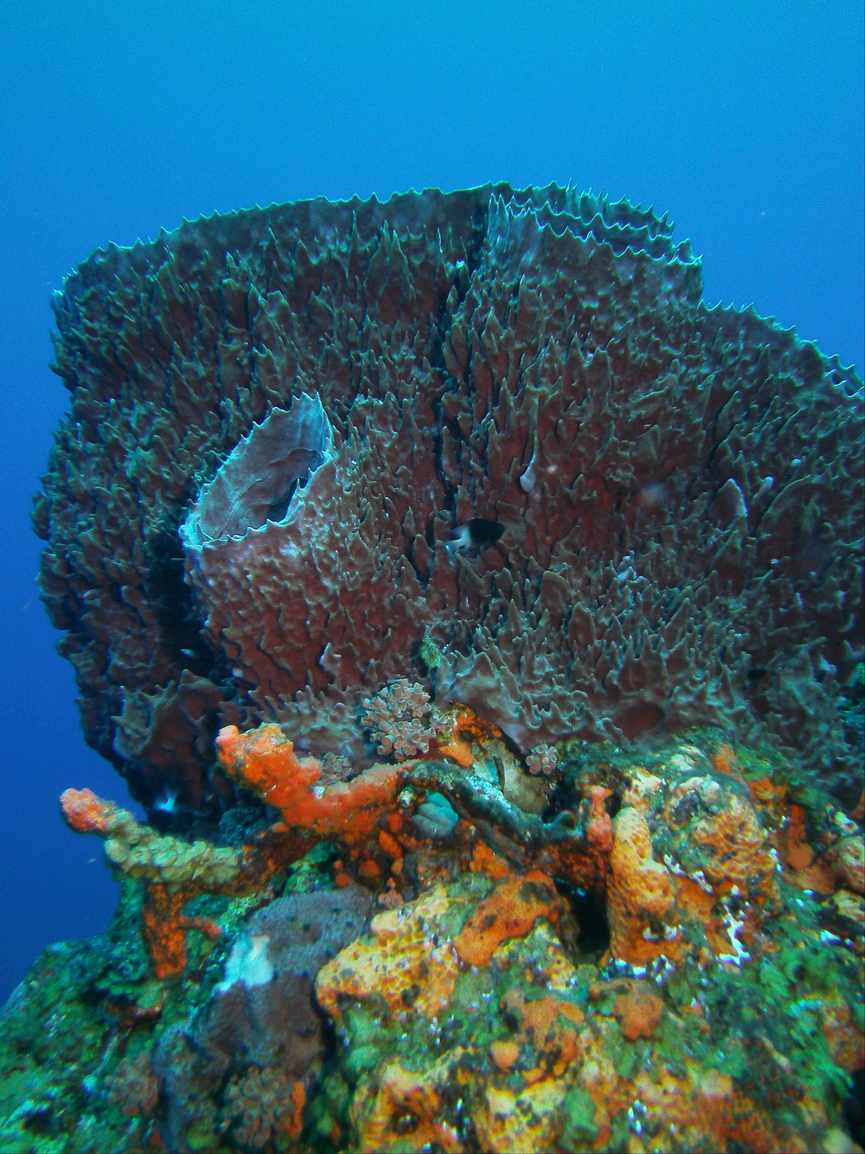 A giant barrel sponge is a popular sight in Saba Marine Park.