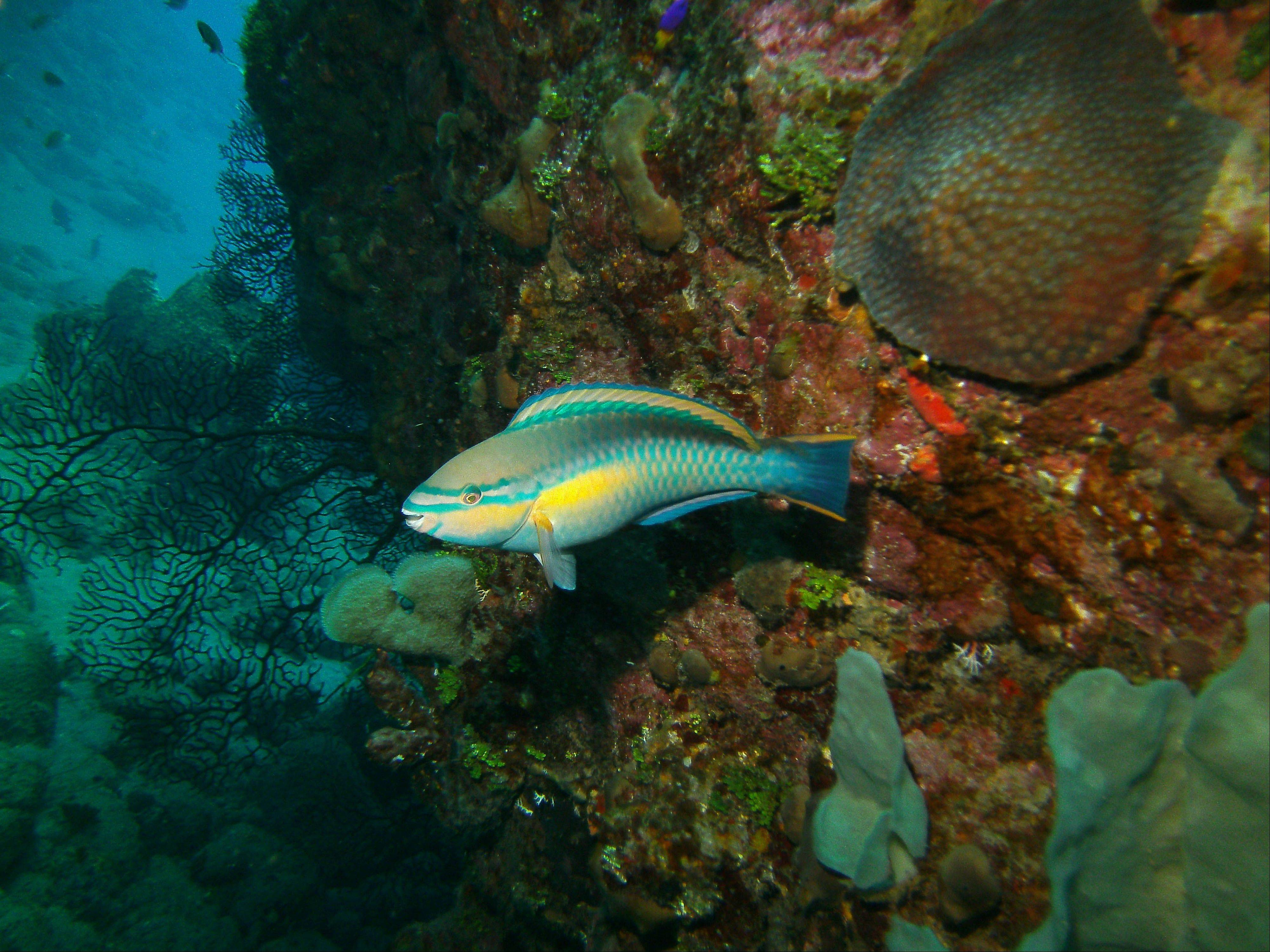 A princess parrotfish is seen in the Saba Marine Park in Saba. About 150 species of fish have been identified in the waters of Saba.