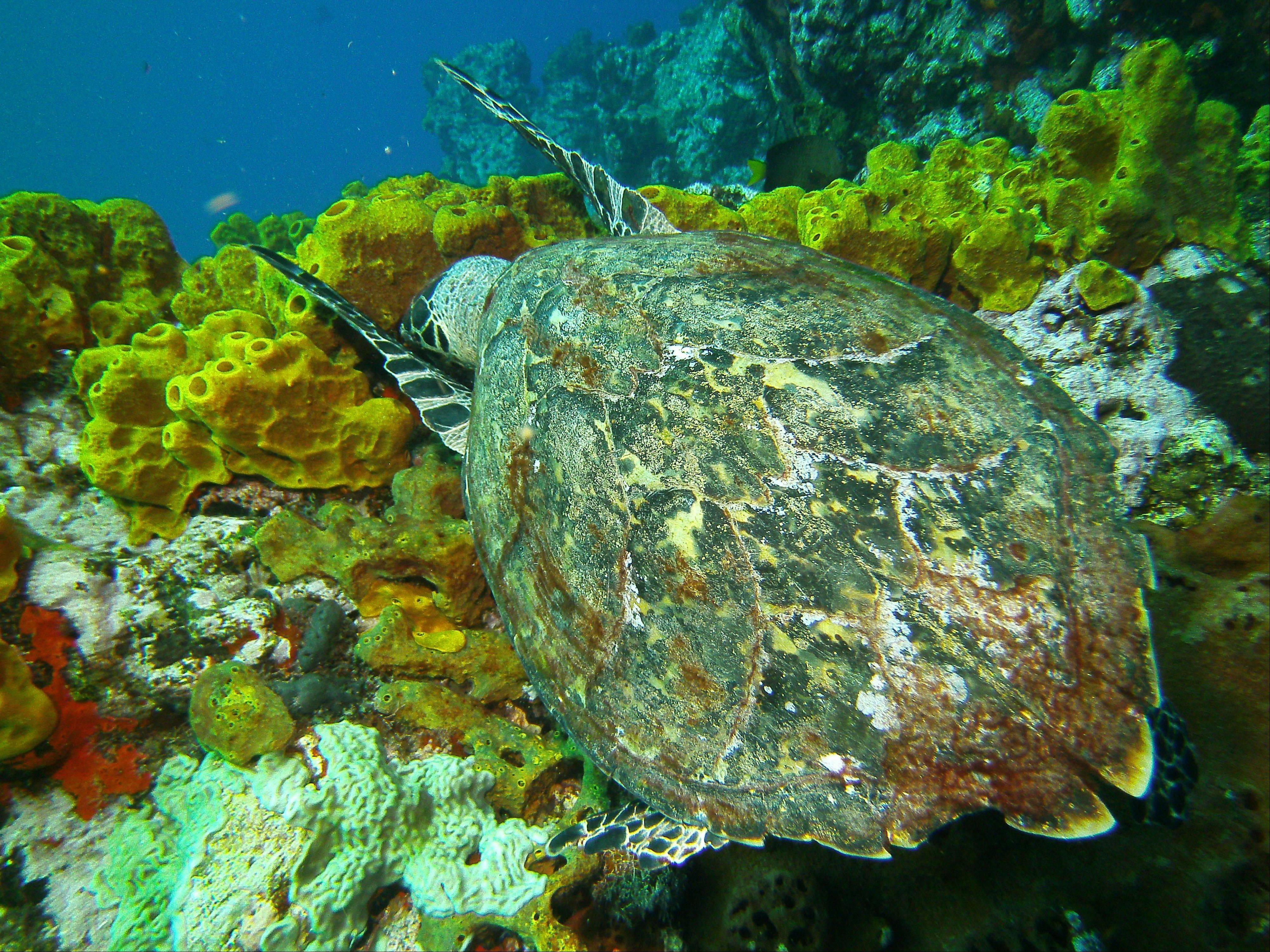 A hawksbill sea turtle snags lunch at the Man-Of-War Shoals dive site in the Saba Marine Park in Saba, an island in the Caribbean.