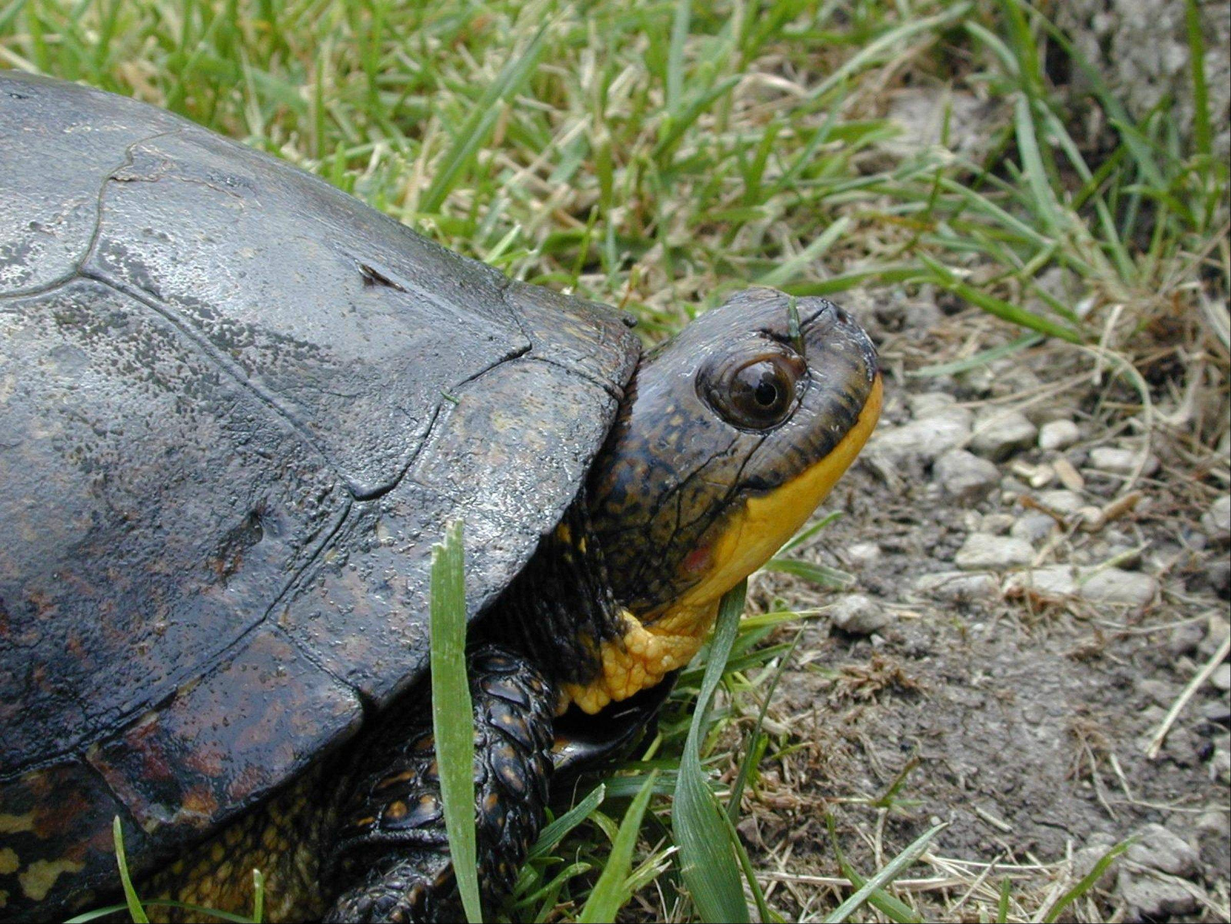 People have been known to take turtles from the wild. It's never a good idea, says naturalist Valerie Blaine. Shown is a Blanding's Turtle, an endangered species, at the Cosley Zoo in Wheaton.