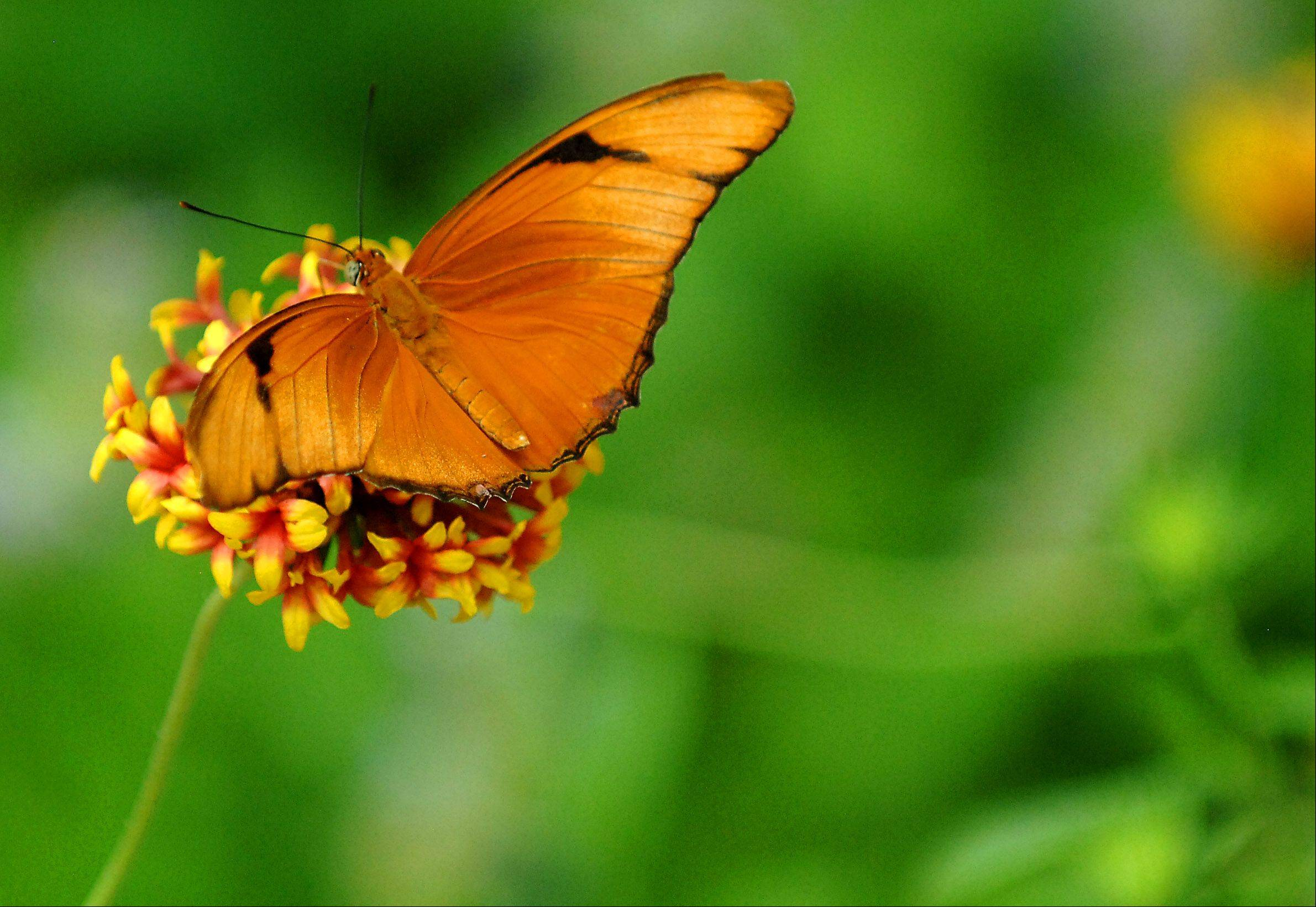 Butterflies never fare well if collected by humans. It's best to leave them in their habitat.