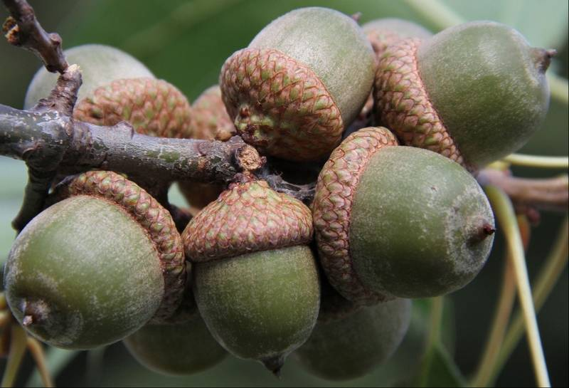 What are the ethics of collecting plants and wildlife for How to preserve acorns