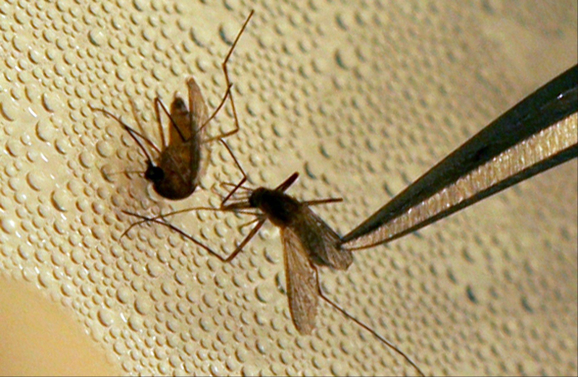 A mosquito is sorted according to species and gender before testing for West Nile virus at the Dallas County mosquito lab in Dallas. Scientists have been working on mathematical models to predict outbreaks for decades and have long factored in the weather.