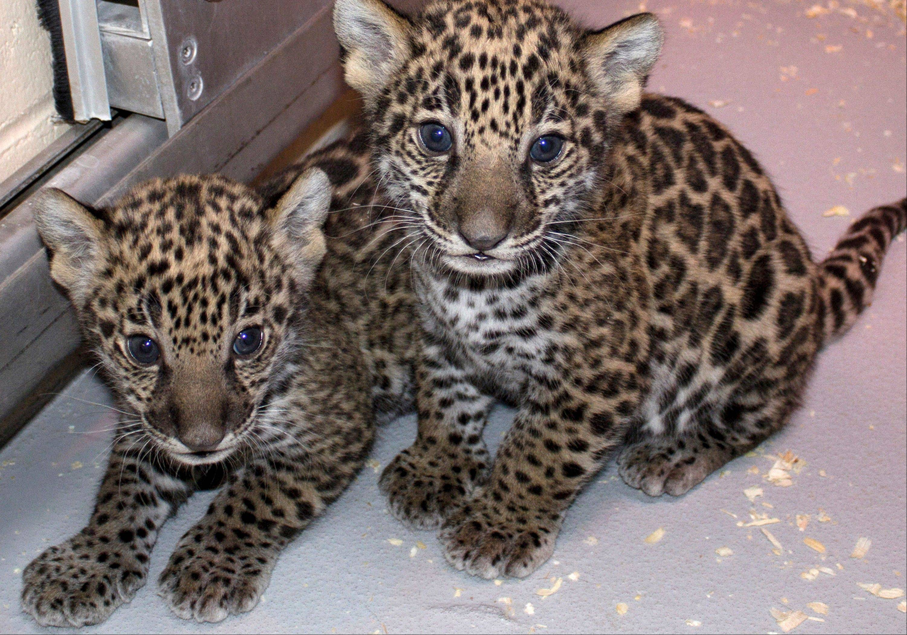 Two baby jaguar cubs born at the Milwaukee County Zoo in November. Jaguars are an endangered species. Stacy Johnson, coordinator of the jaguar species survival plan for the American Zoo and Aquarium Association, said their birth was a big deal because their father was born in the wild and brings new genes to zoos.