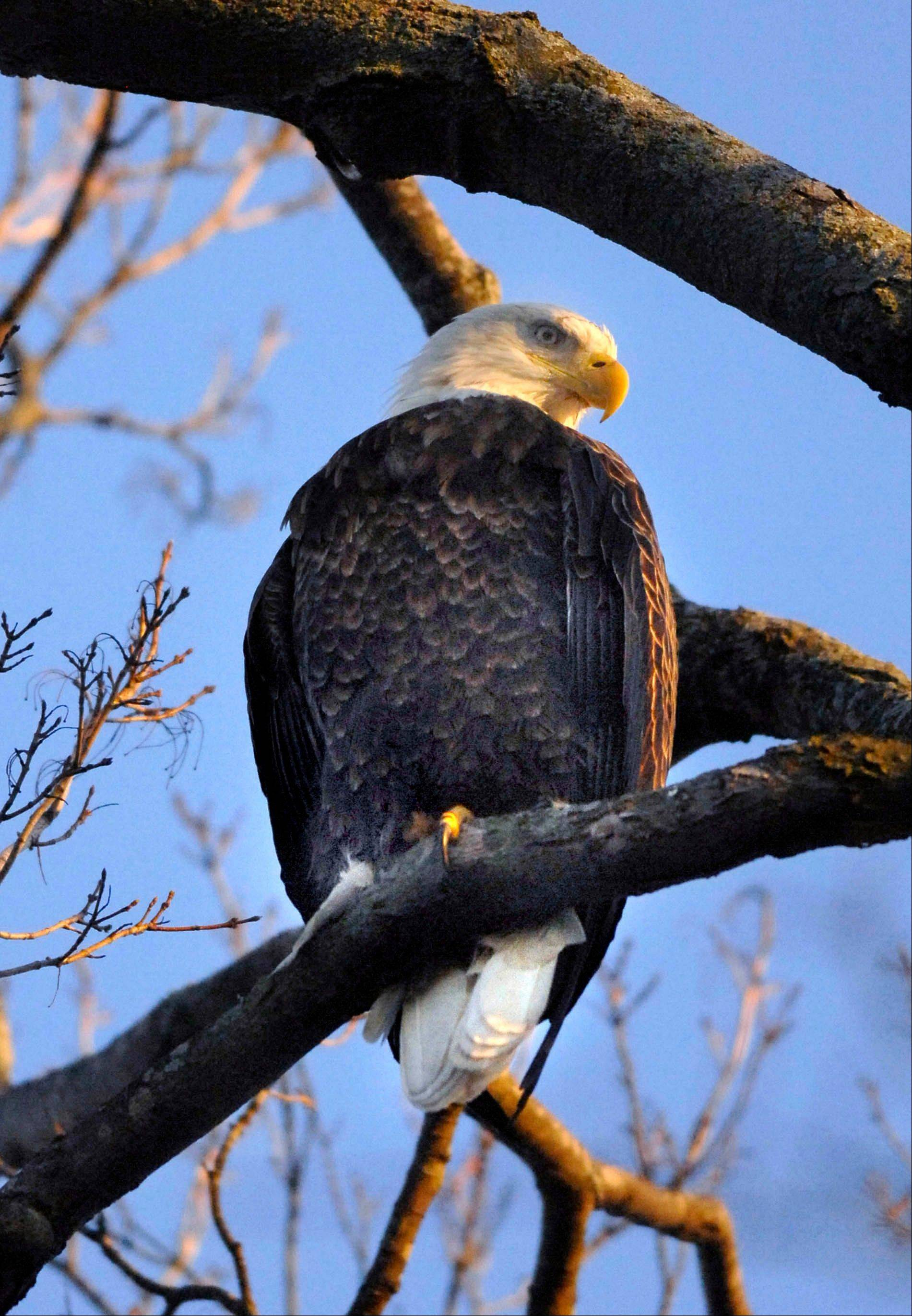 A wild bald eagle perches in a tree above Miller Park Zoo in Bloomington, Ill., on Tuesday. Zookeepers believe the eagle has taken interest in the two flightless eagles housed at the exhibit.