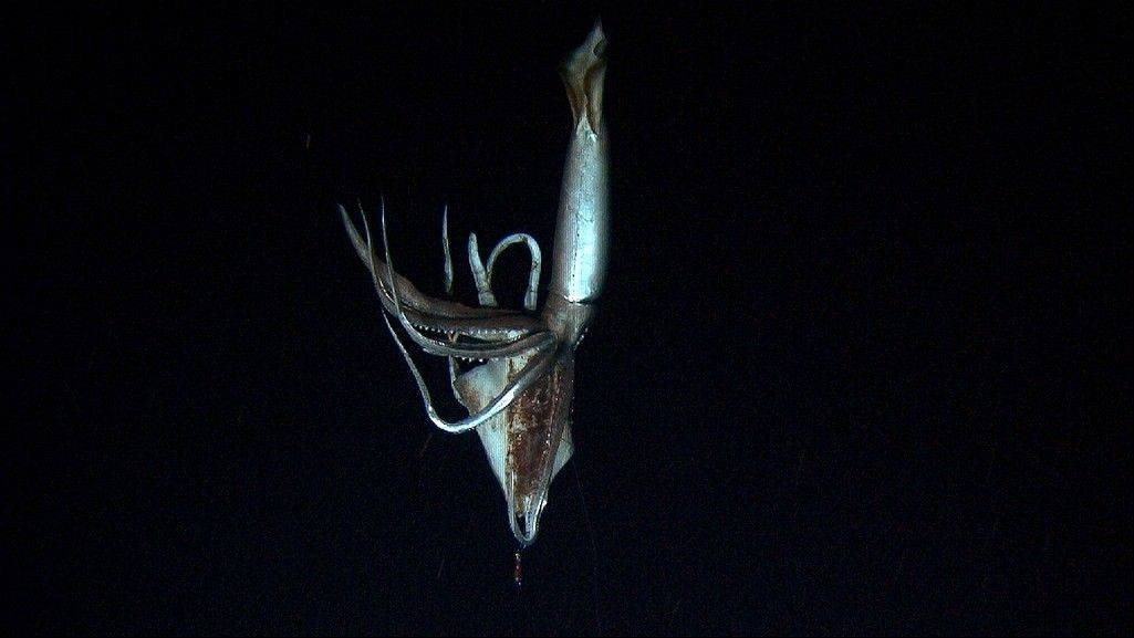 In this image made from video recorded in the summer of 2012, provided by NHK and Discovery Channel, a giant squid takes bait in the deep sea off Chichi island, Japan.