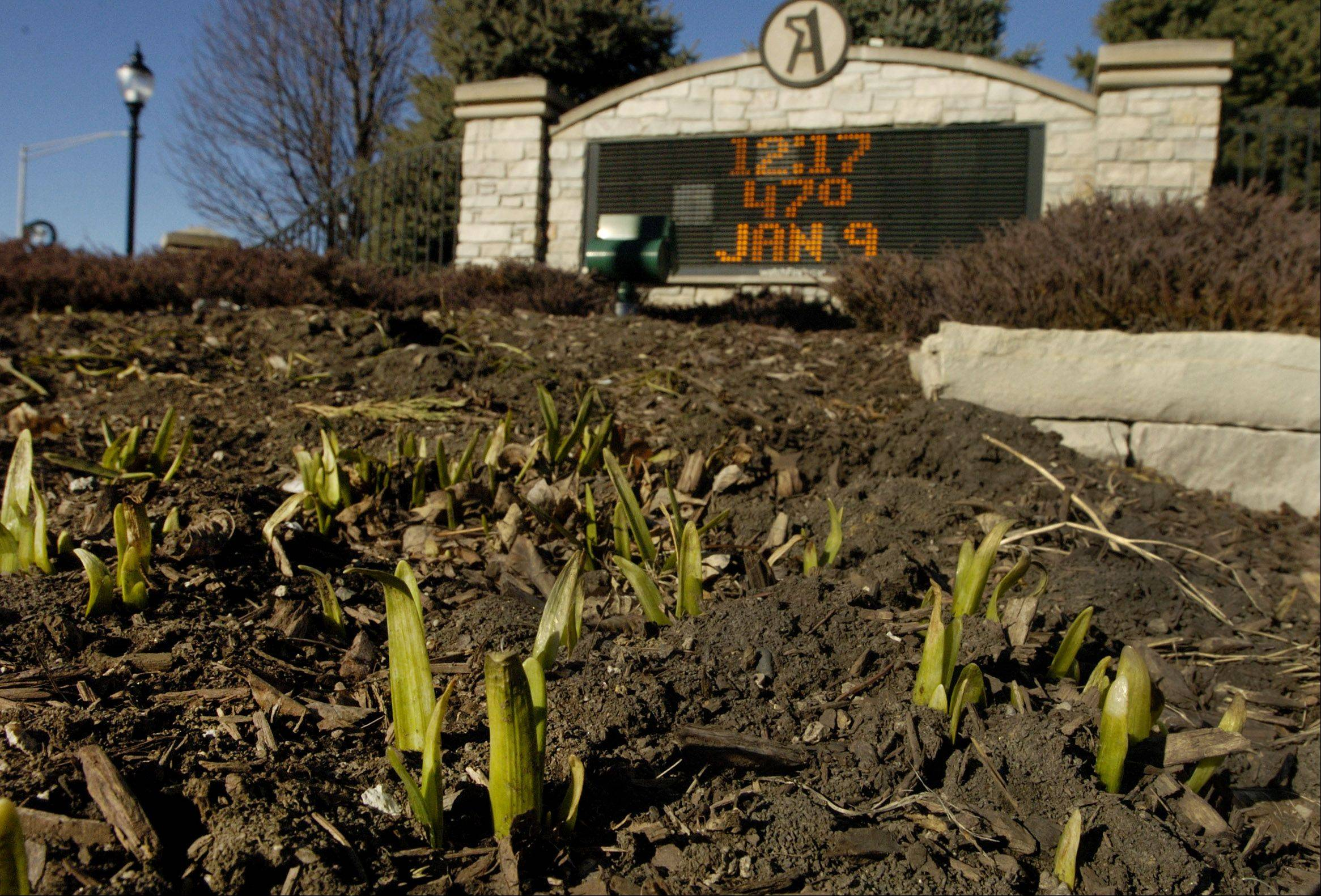 Due to the unusually mild winter so far, tulips begin to sprout on the corner of Arlington Heights Road and Northwest Highway.