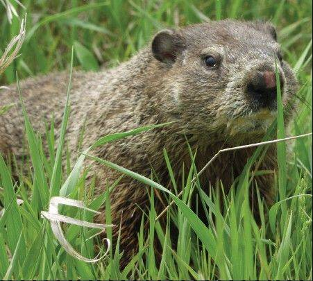 "Citizens for Conservation will hold a presentation on ""Skunks, Raccoons, Possums, Bats and Groundhogs"" and how homeowners can learn to coexist with them at 9:30 a.m. Saturday, Jan. 26, at the Barrington Area Library."