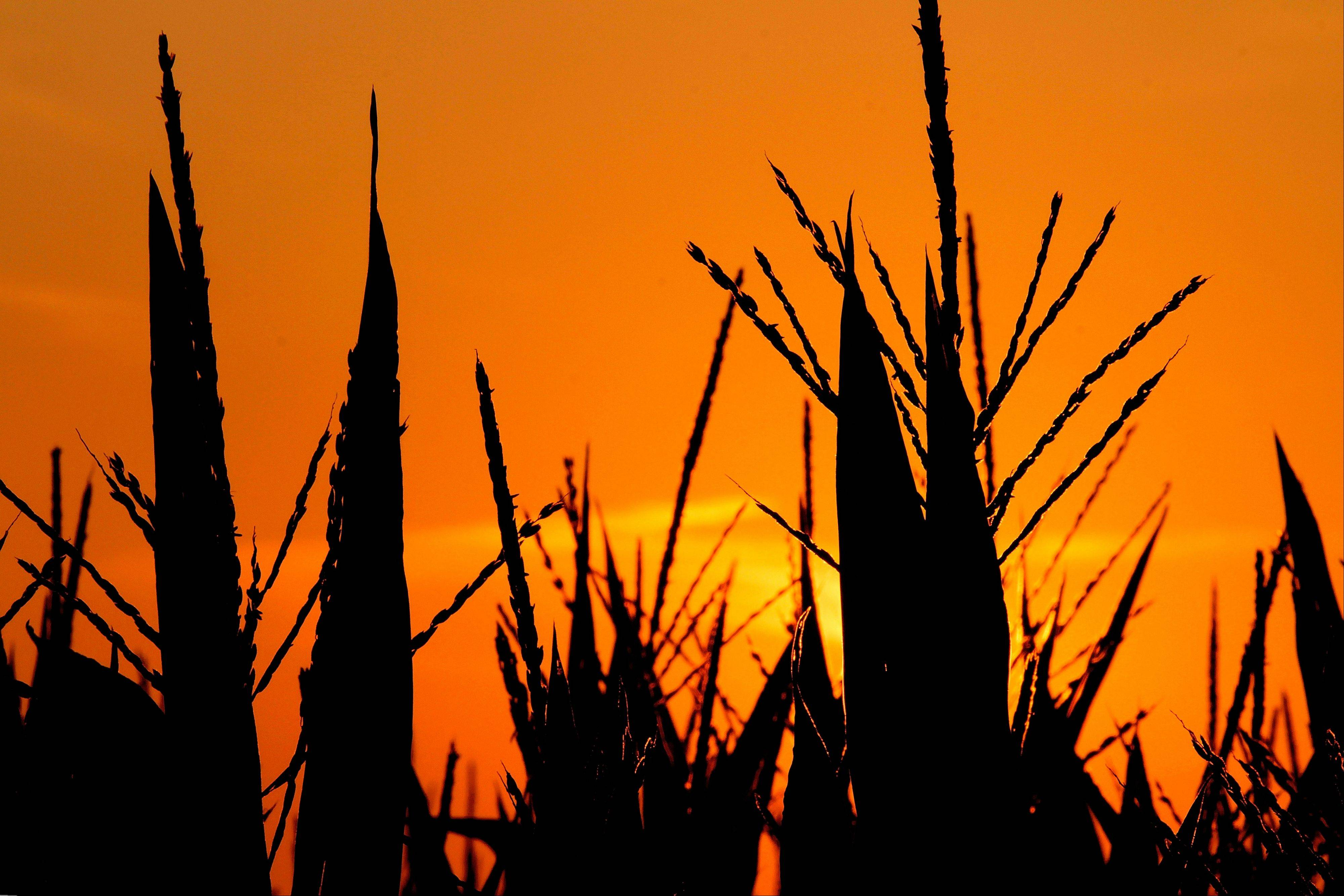 The sun rises over struggling drought and heat stressed corn in Pleasant Plains, Ill.