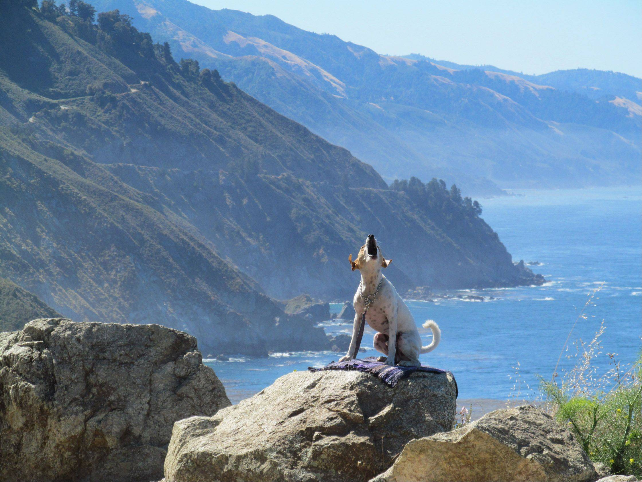 A dog barks at strangers near Big Sur, California last June. A man and his dog were watching for whales on the Pacific coast.
