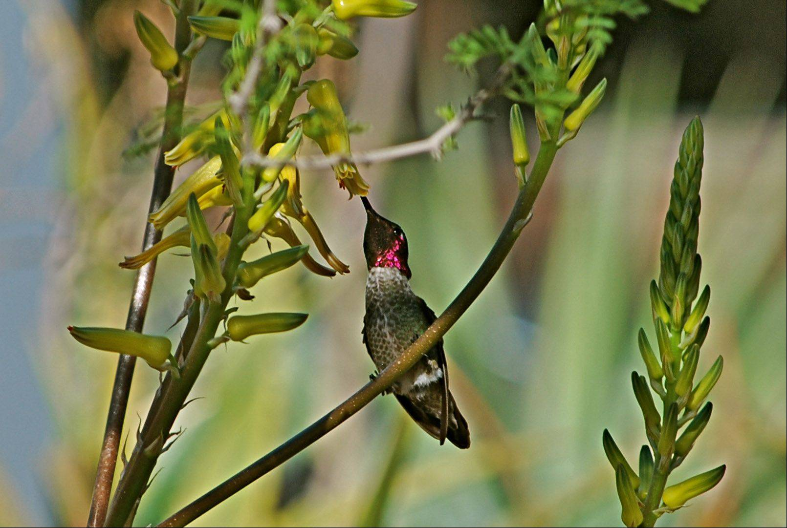 I captured this picture of a hummingbird while at the Phoenix Botanic Garden a couple of springs ago. We were there for baseball spring training, but there is much more to see out there in addition to the games.