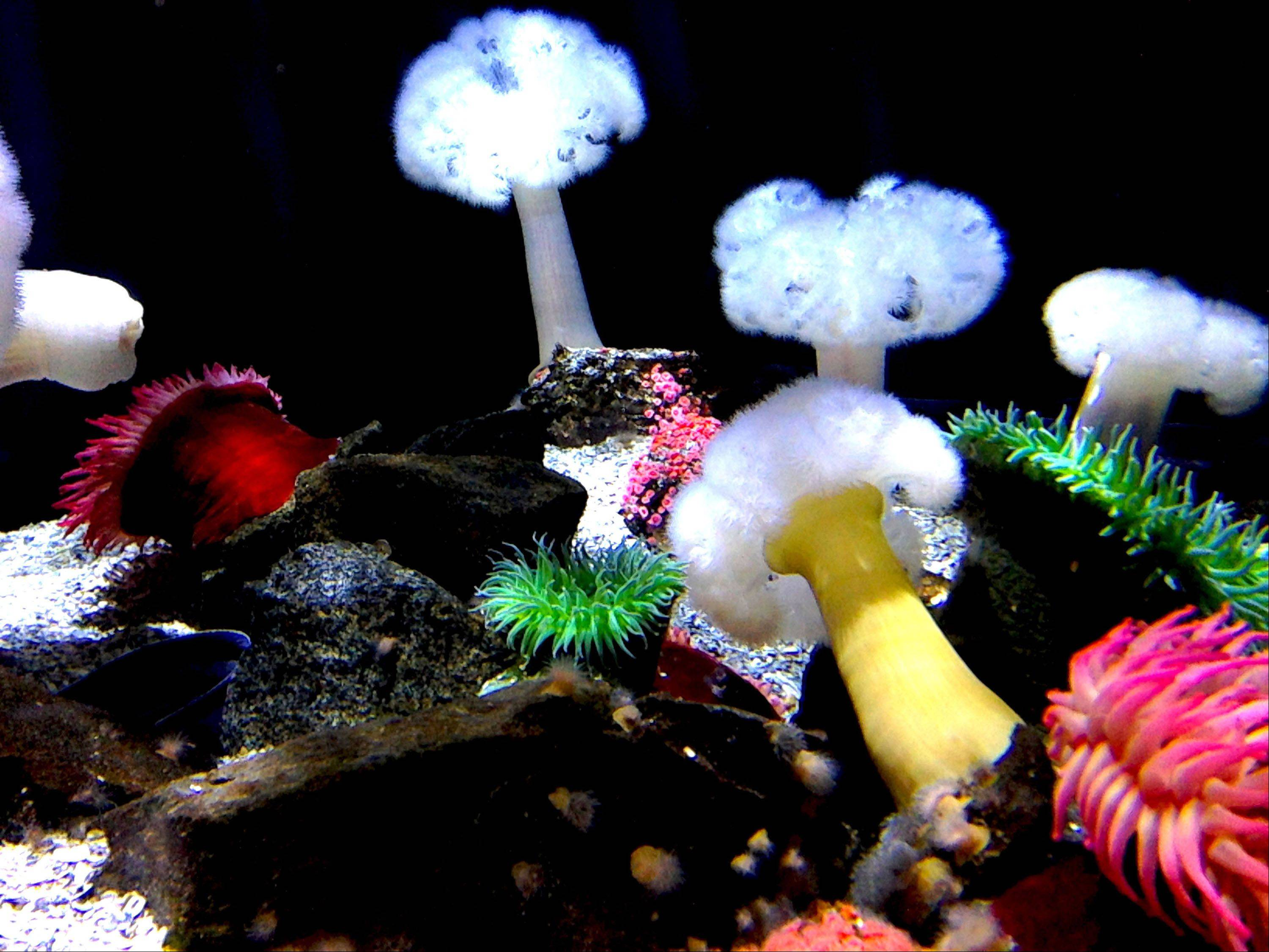 A garden of sea anemones at the New Jersey Aquarium in Camden last month.