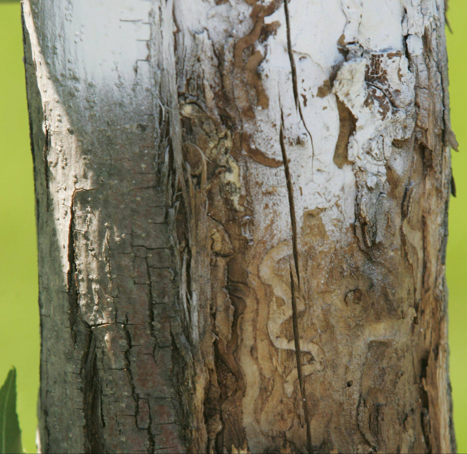 The emerald ash borer has made its way to Carpentersville, infecting several trees along Alexandria Lane on the west side of the village. Village leaders have received a grant to replace between 45 and 50 of the more diseased trees.
