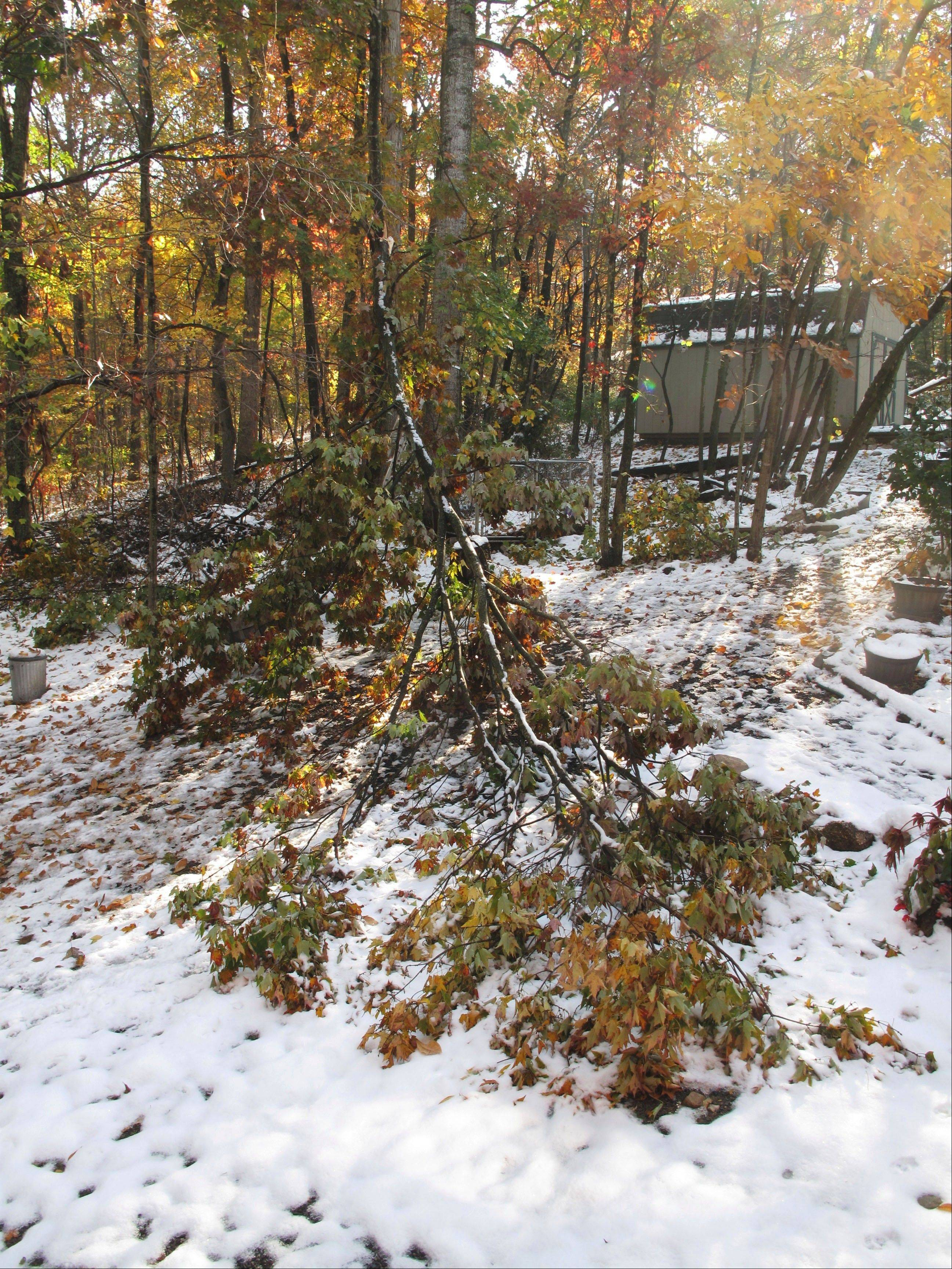 Damaged trees from a storm that packed wet, heavy snow on portions of Virginia's Shenandoah Valley. This tree couldn't be saved and had to be removed.