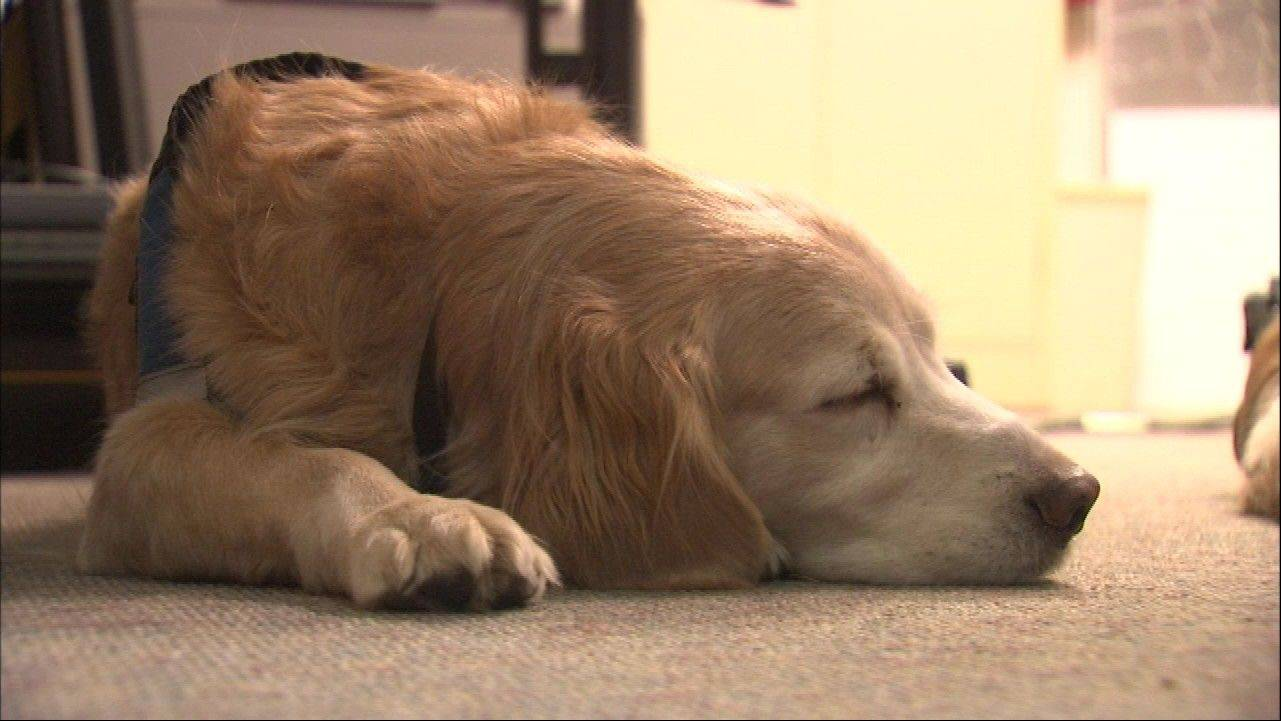 One of the Golden Retrievers from Lutheran Church Charities' K-9 Comfort Ministry takes a well-deserved nap Wednesday after returning home from a long stay in Newtown, Conn., helping people cope with the deadly elementary school shootings. The dogs will return to the town Jan. 1 to help the children when they return to school