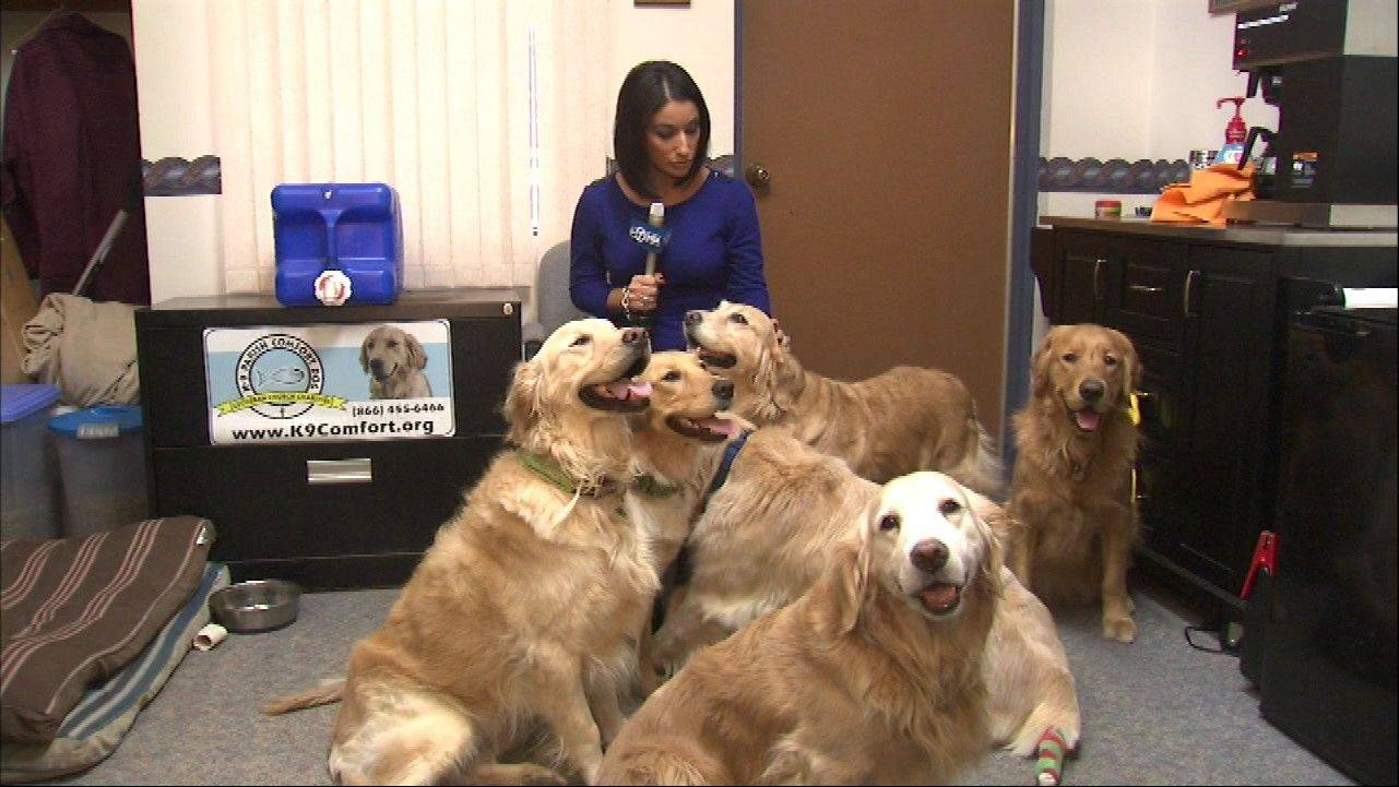 The comfort dogs from Lutheran Church Charities' K-9 Comfort Ministry surround ABC 7 reporter Diane Pathieu after arriving home Wednesday in Chicago. They were in Newtown, Conn., after the deadly school shooting there.