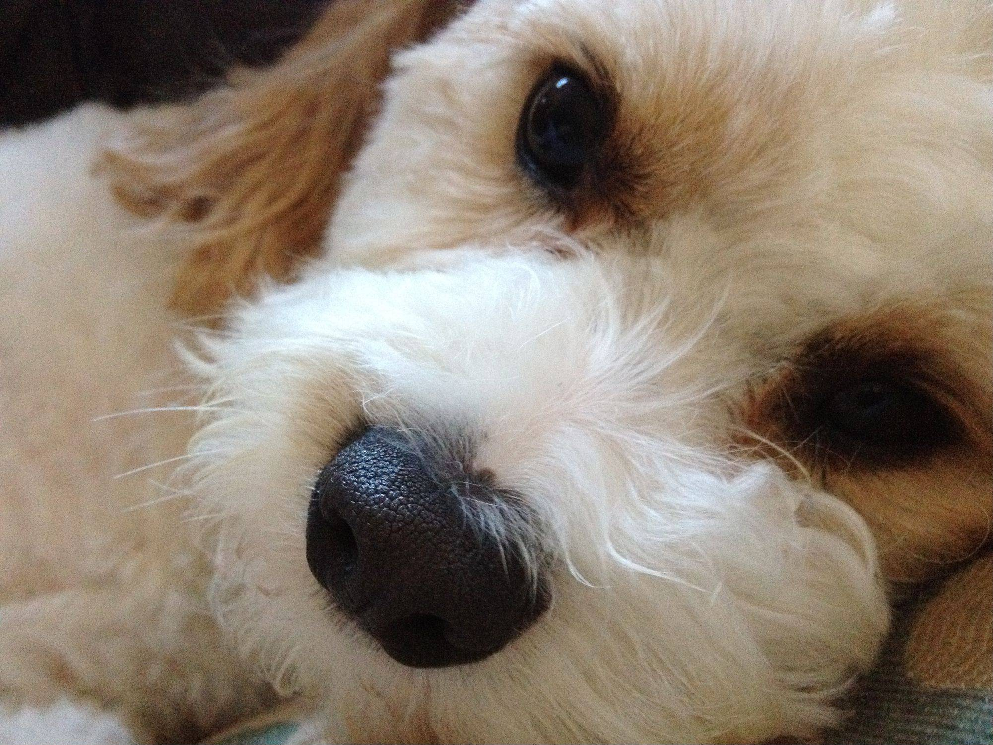 Illinois may rank low in pet ownership, but the Daily Herald ranks high. Here is photo editor Jeff Knox's Sam, a 4-year-old Cavachon dog.