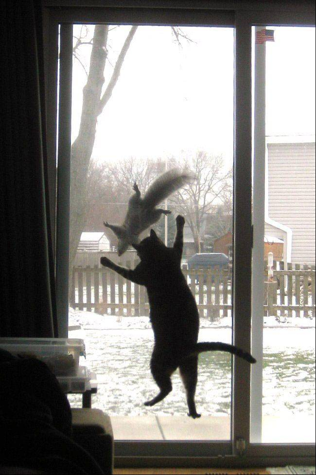 Arthur, the cat, jumps at a squirrel that appears to be taunting him by climbing up and down on the outside of the screen at a Schaumburg home.