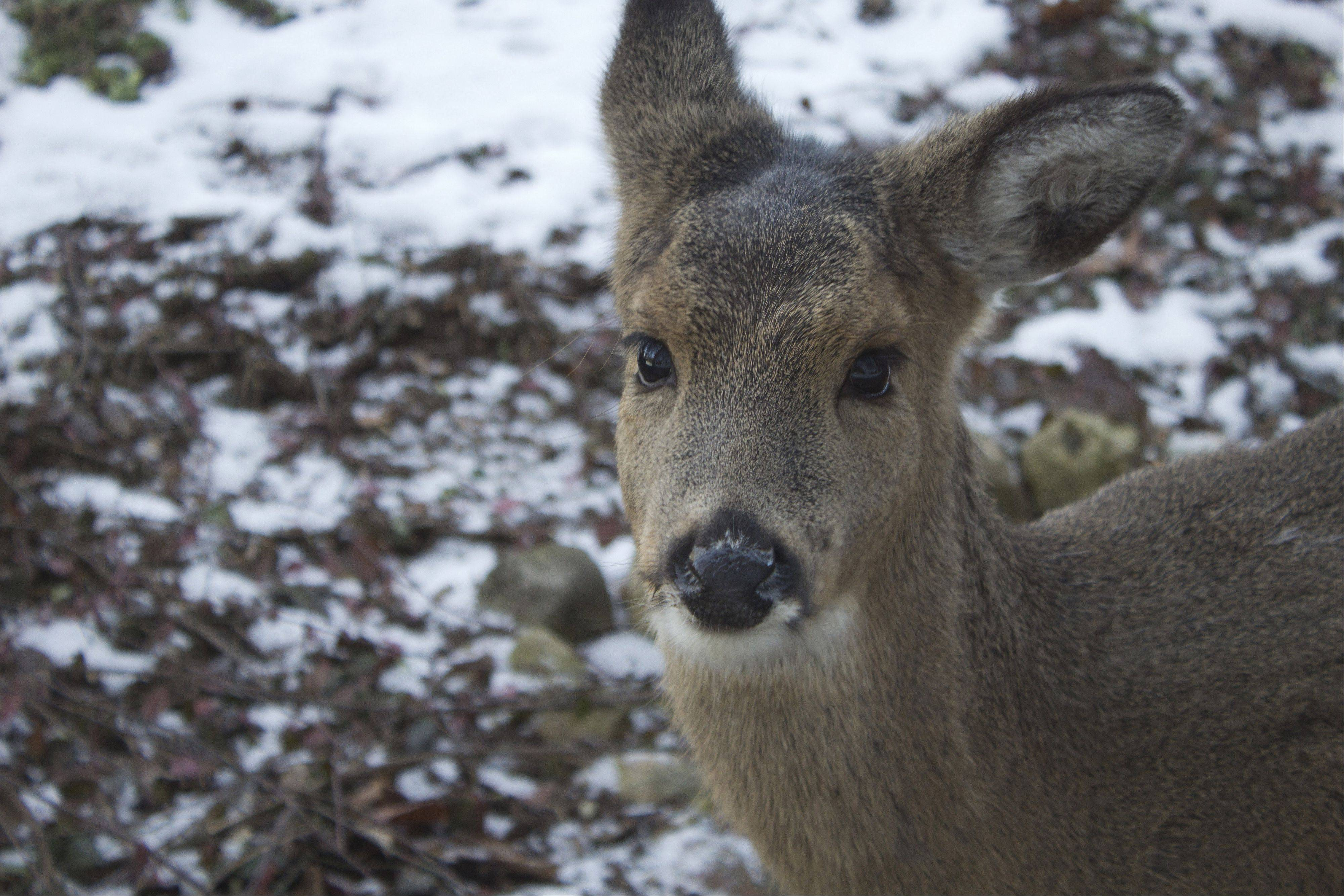 A young deer eats in the yard of a Kildeer home last week.