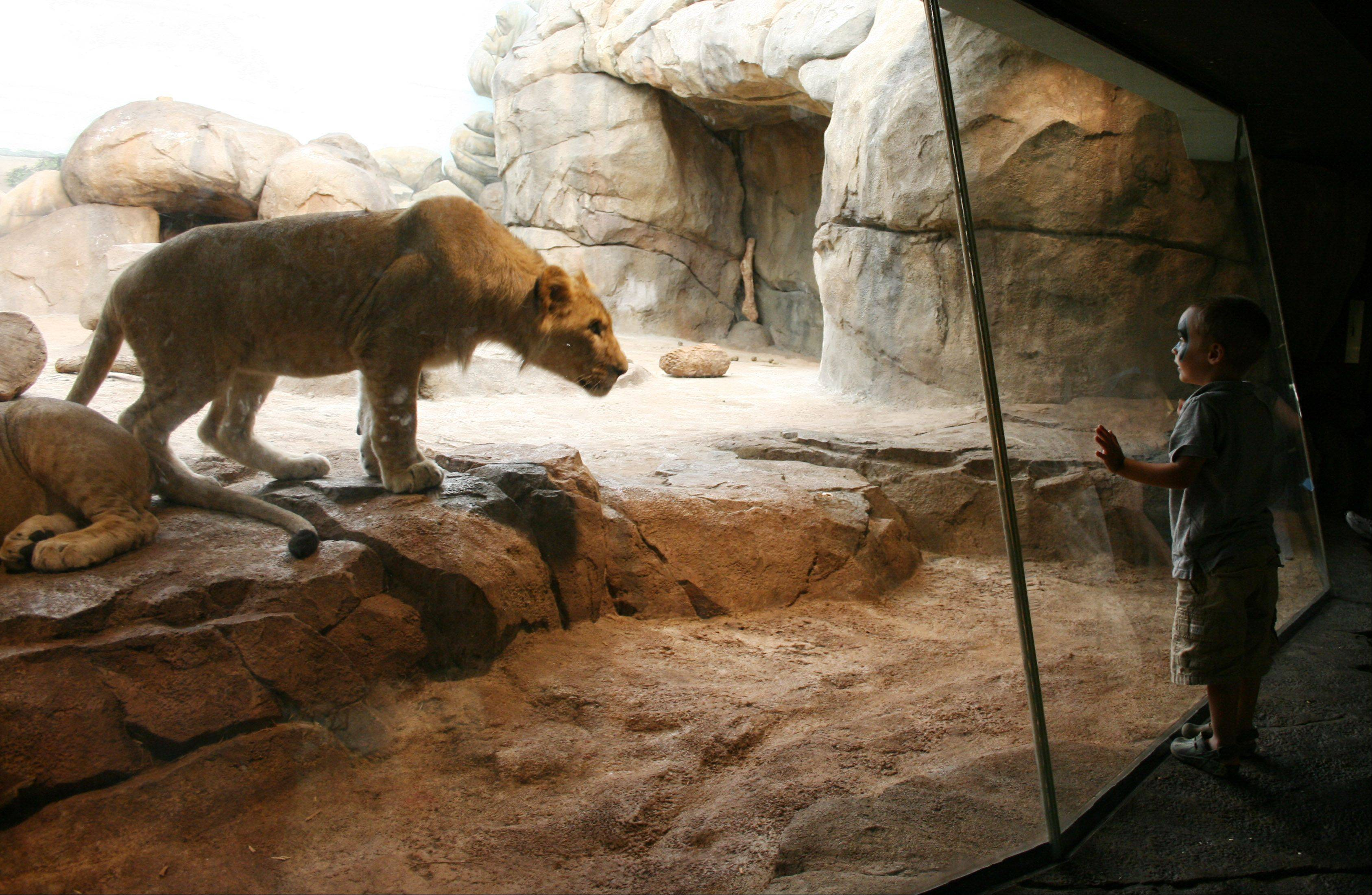 My daughter and I went to the Milwaukee Zoo last summer and saw the boy and lion in a staring contest.