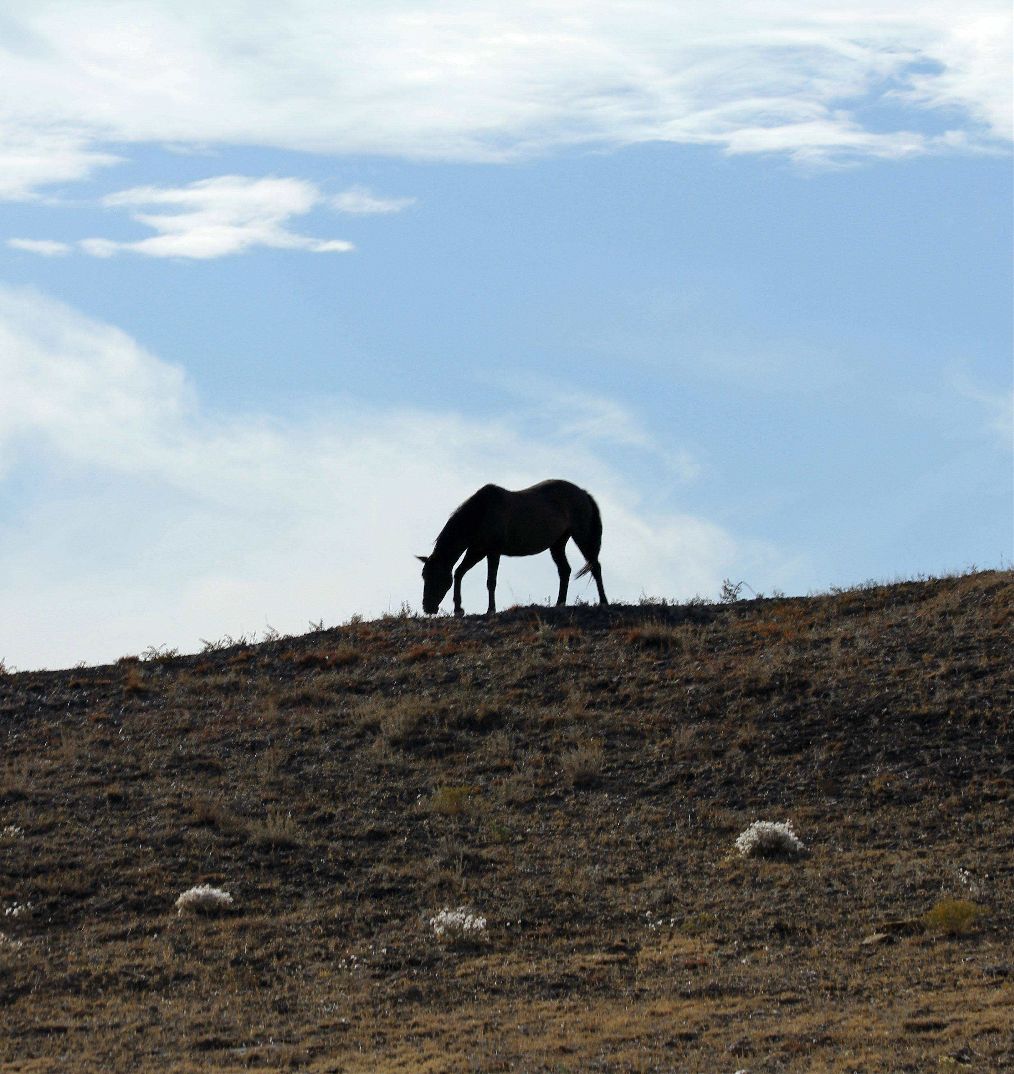 The silhouette of a lone horse grazing on the ridge at Black Hills Wild Horse Sanctuary in Hot Springs, South Dakota last October.