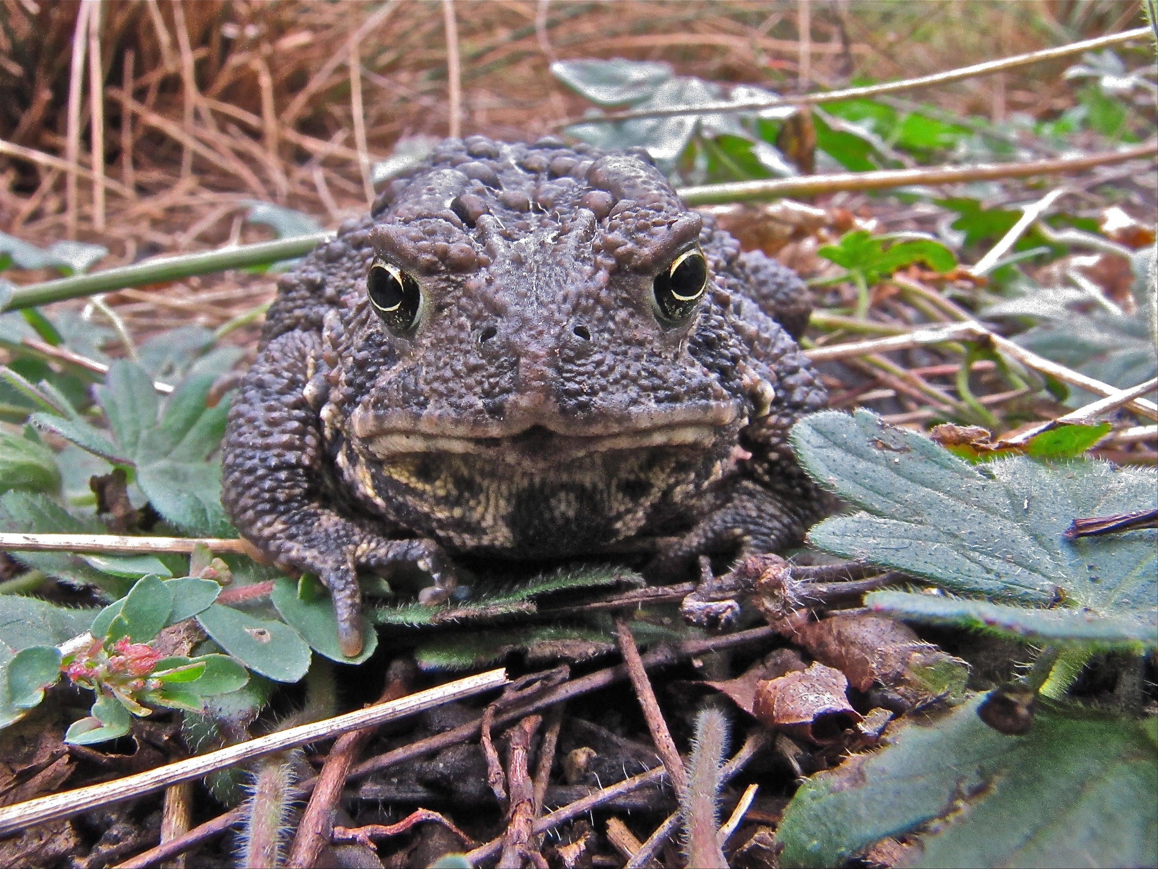 Cantigny Park visitors gave Clarendon Hills resident Mary Brown first place for her close-up photo of an American toad.