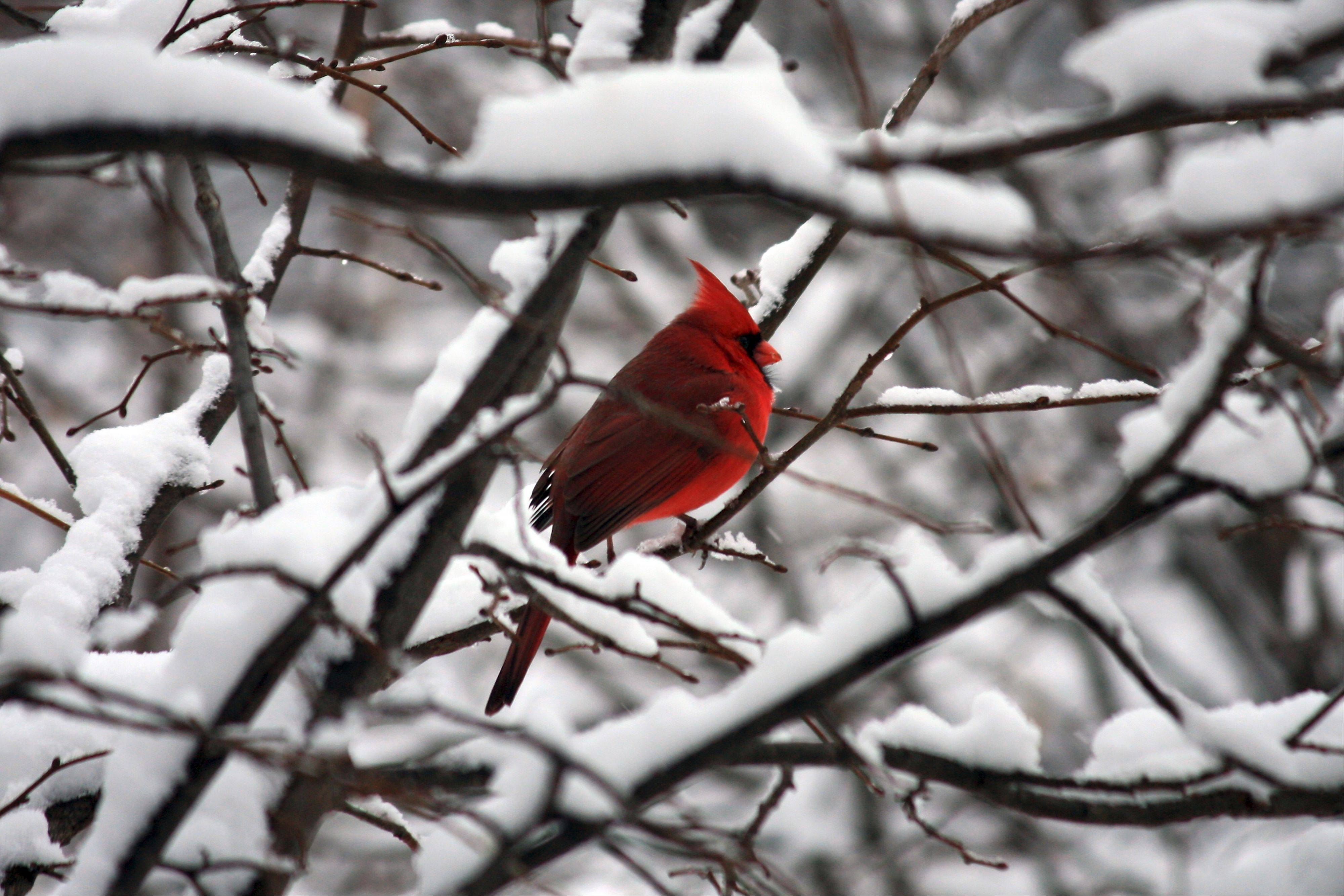 Glen Ellyn resident Leslie Morrison of a colorful male Northern cardinal in snow was voted second most popular by Cantigny visitors.